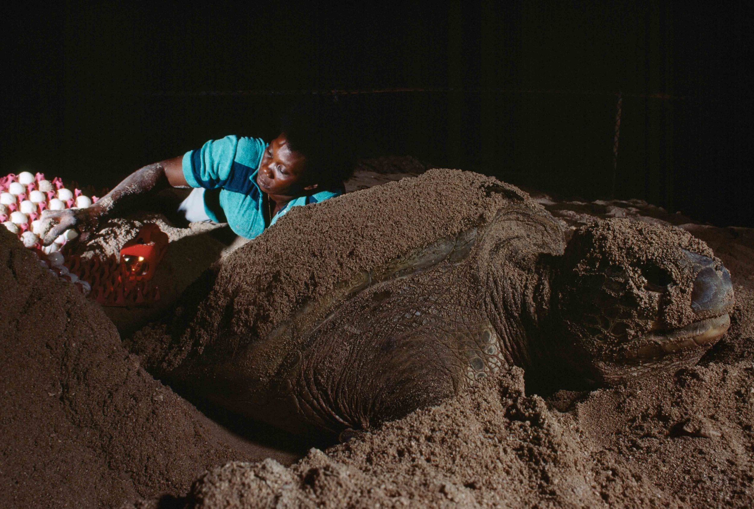 A breeder removes eggs from the nest of a green turtle at Cayman Turtle Farm. © DAVID DOUBILET