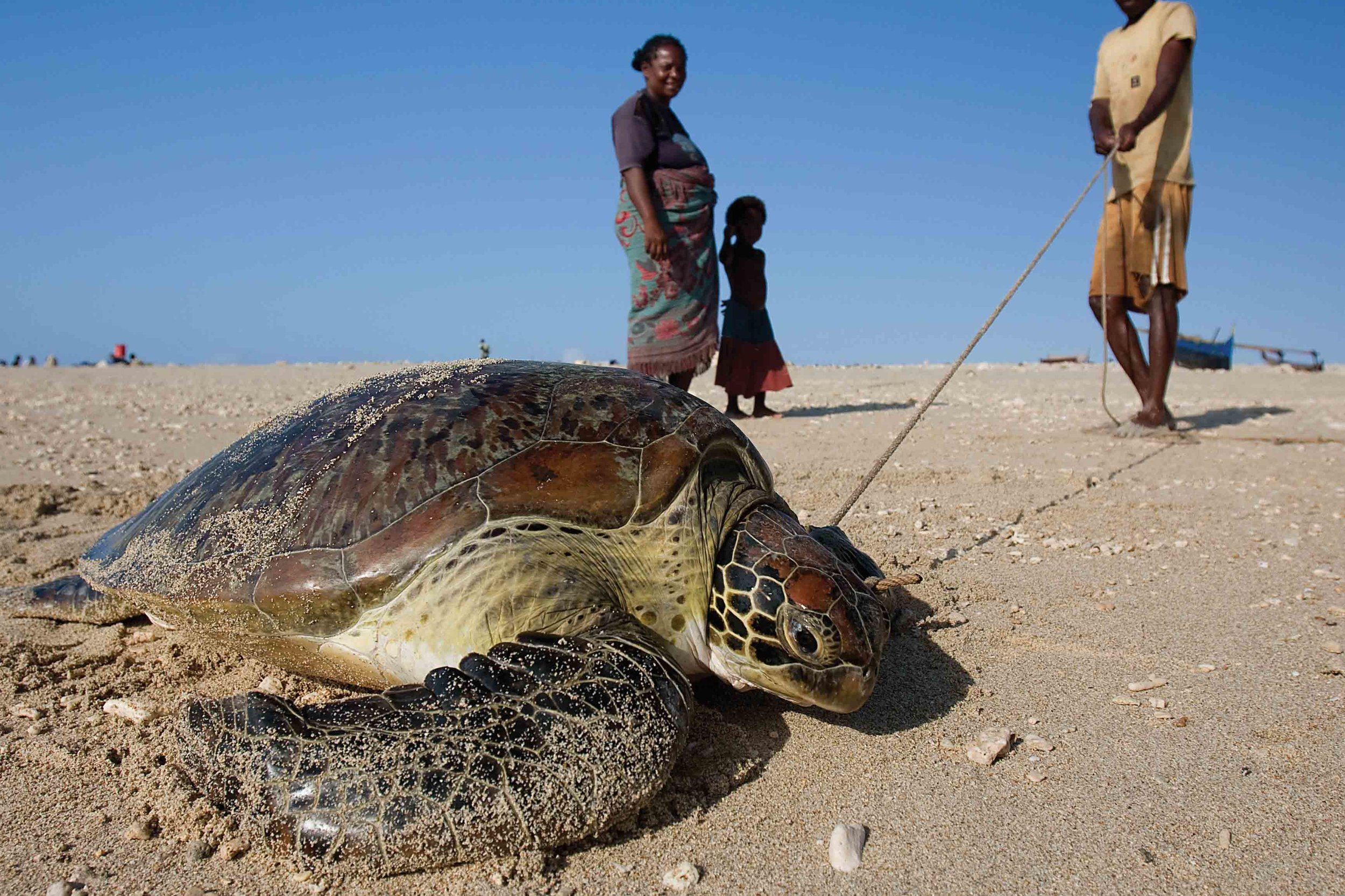 Sea turtles have been traditionally hunted by Vezo tribesmen in southwestern Madagascar for centuries. © Garth Cripps
