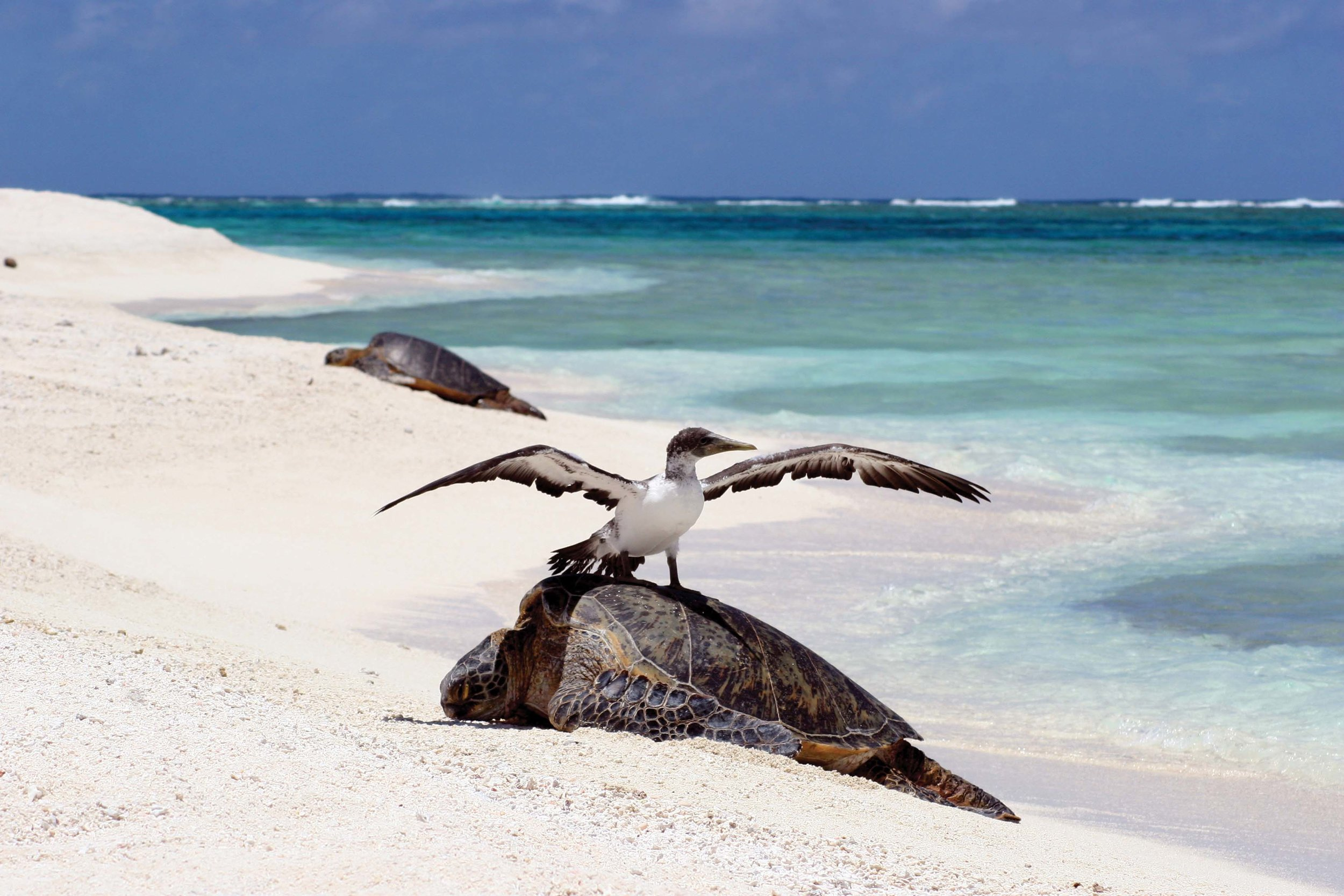More than 90 percent of all sea turtle nesting in Hawaii occurs at French Frigate Shoals, seen here. Recently, nesting has been increasing in the main Hawaiian Islands, where it was formerly nonexistent. © Mark Sullivan, NOAA affiliate