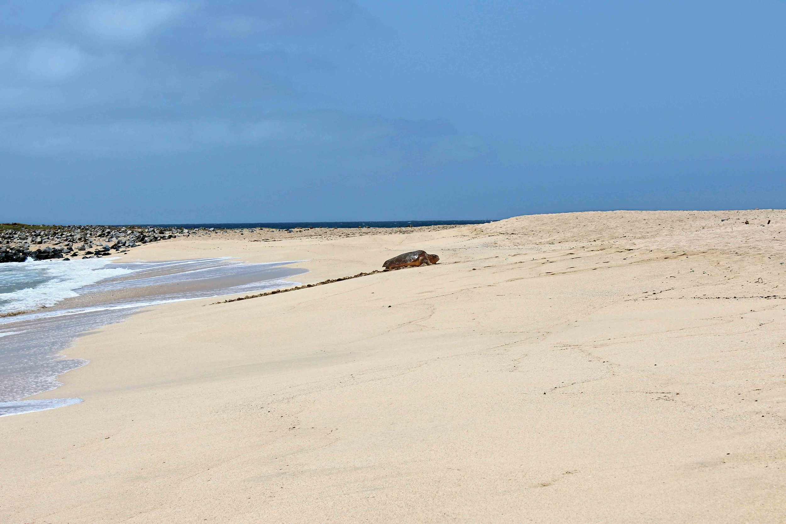 A lone loggerhead comes ashore to nest in Cabo Verde. © Juliet ten Wolde / Turtle SOS Cabo Verde
