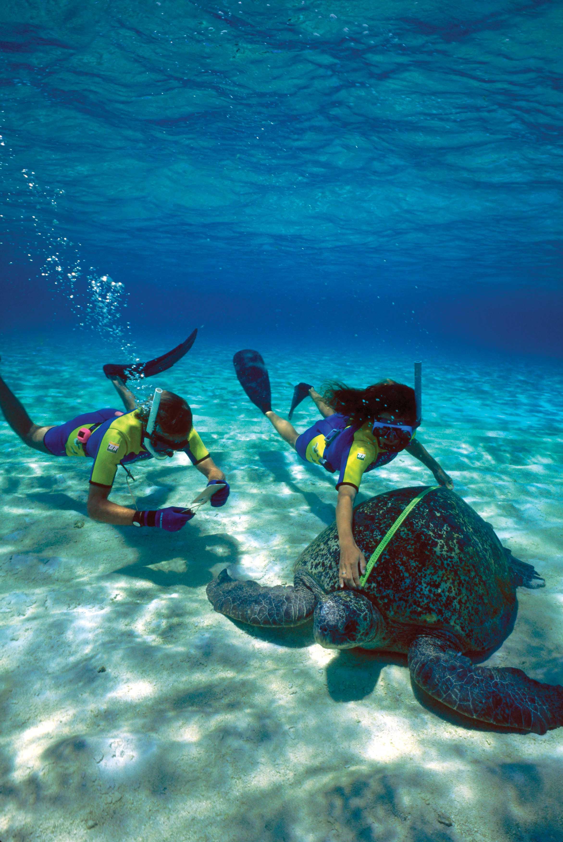 Researchers measure a green turtle at Atol das Rocas, Brazil. © Projeto TAMAR Image Bank