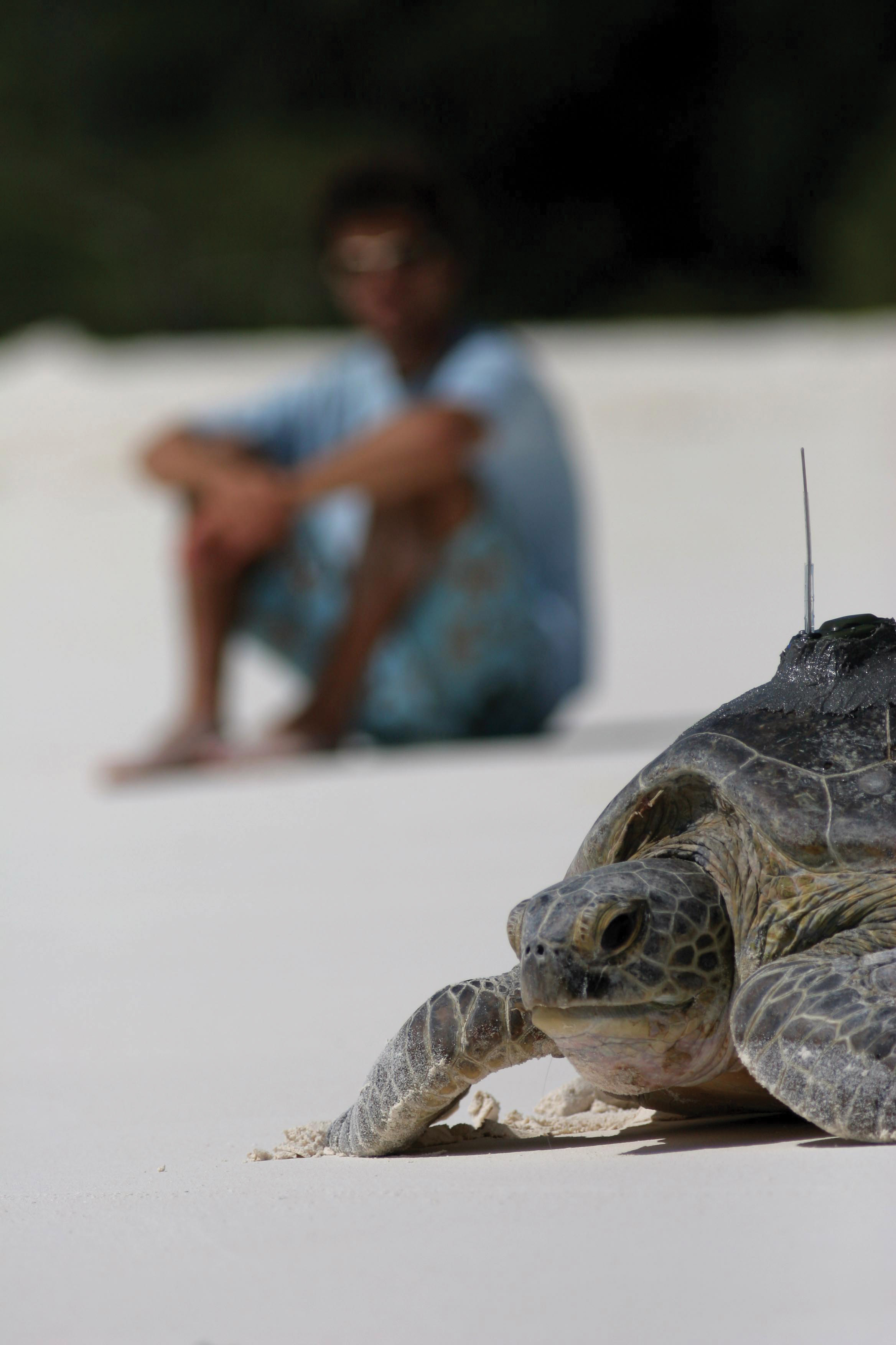A student looks on as a green turtle fitted with a satellite tracking device returns to the sea on Glorieuses Island in the French Îles Éparses. The turtle was tracked as part of a study to identify foraging areas and monitor postnesting movements. © Jérôme Bourjea
