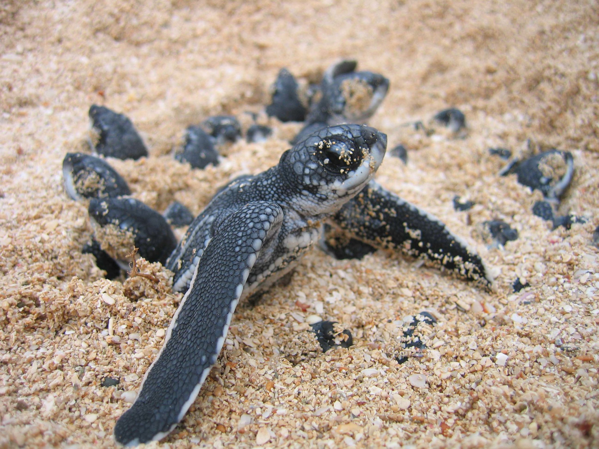 A leatherback hatchling emerges from the sand on St. Croix, U.S. Virgin Islands. Scientists analyzed DNA from more than 17,000 hatchlings to answer important questions about population demography and life history. © Kelly Stewart