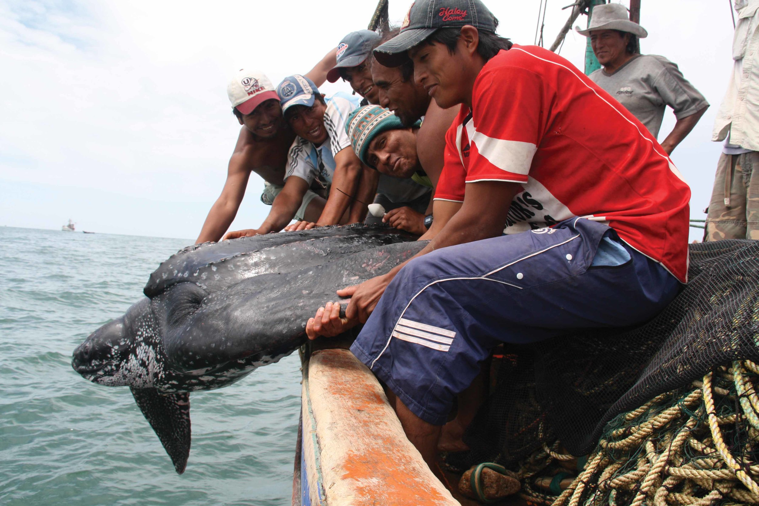 Fishermen off Peru's coast release a leatherback turtle that was incidentally captured and then tagged by researchers. © Joanna Alfaro