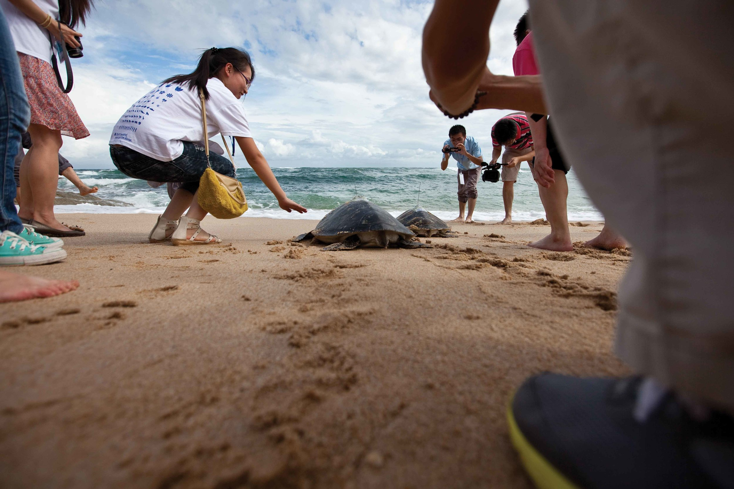 Green turtles fitted with satellite tracking devices are released from the Huidong National Gangkou Sea Turtle Reserve in China. © Brian J. Hutchinson