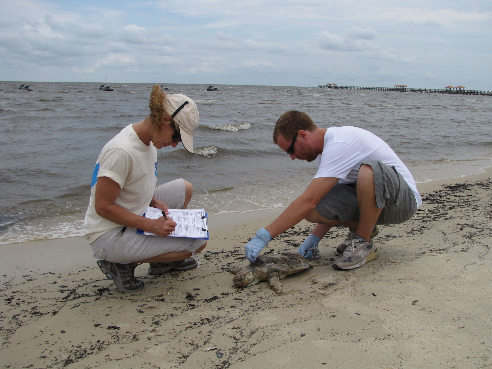 Drs. T. Todd Jones and Yonat Swimmer of NOAA's Pacific Islands Fisheries Science Center collect data on a dead Kemp's ridley that was reported through the Mississippi wildlife hotline. The data they collect will help establish the oil spill's full impact on sea turtles. © NOAA