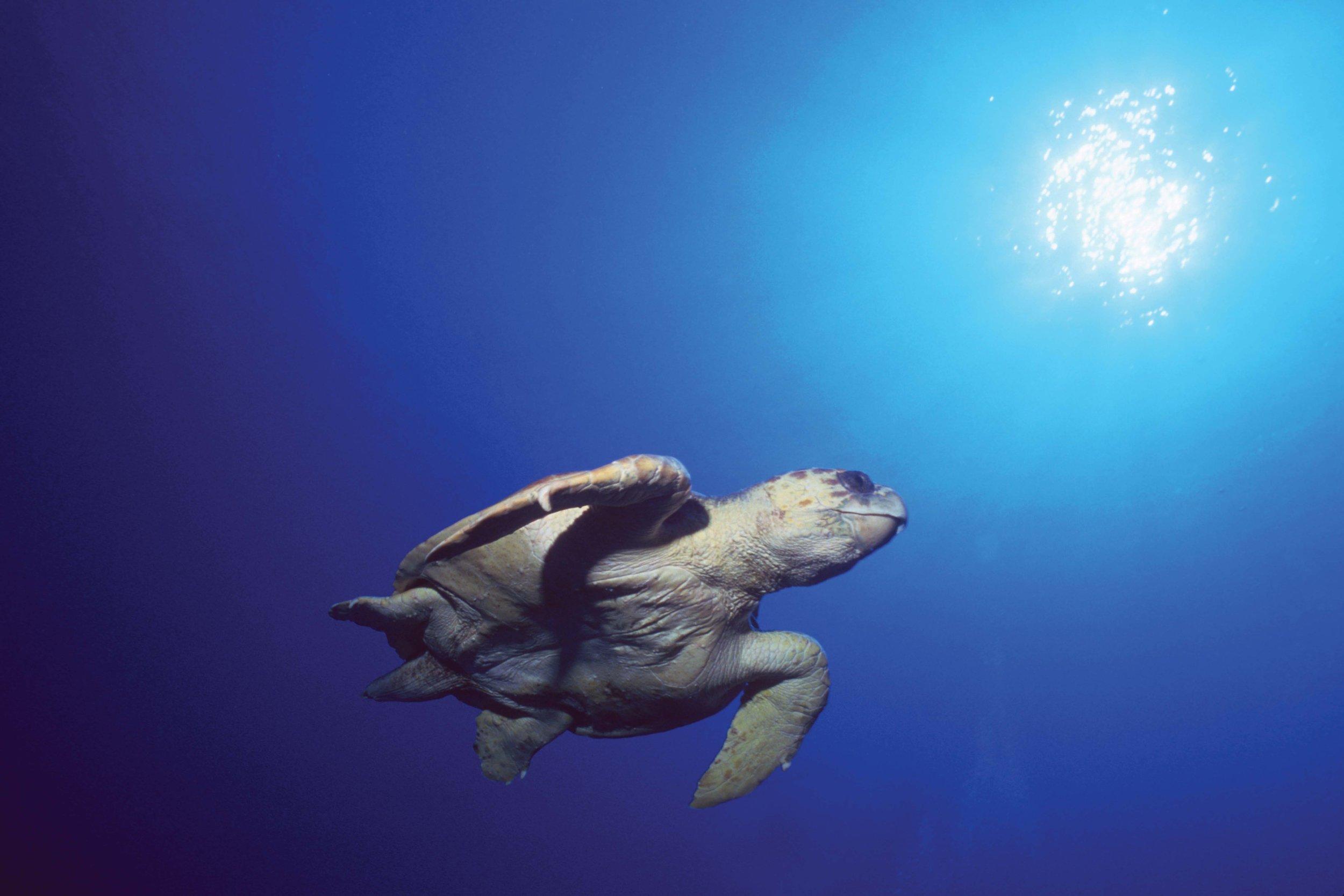 A loggerhead turtle swims in The Bahamas. © DOUG PERRINE / SEAPICS.COM