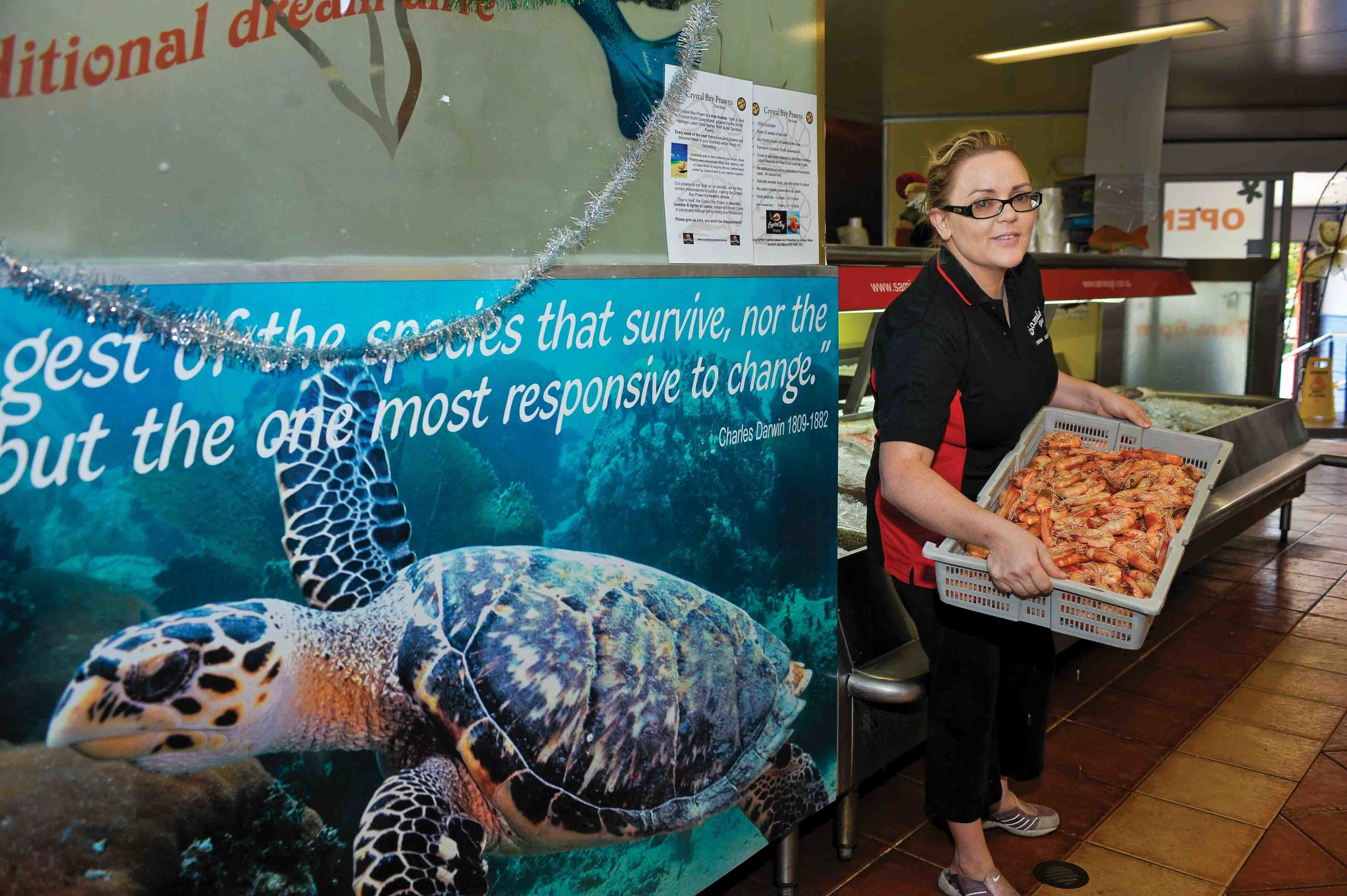 An employee of Samies Girl Fresh Seafood Market in Brisbane, Australia displays shrimp caught using TEDs. Kristina and Harry Georges, owners of Samies Girl, proudly advetise their support for sea turtle conservation; not only do they sell shrimp caught exclusively through the use od TEDs, but they also sell insulated, reusable bags whose proceeds benefit sea turtle research and education as part of their Save Our Sea Turtles Foundation. © Calen Offield