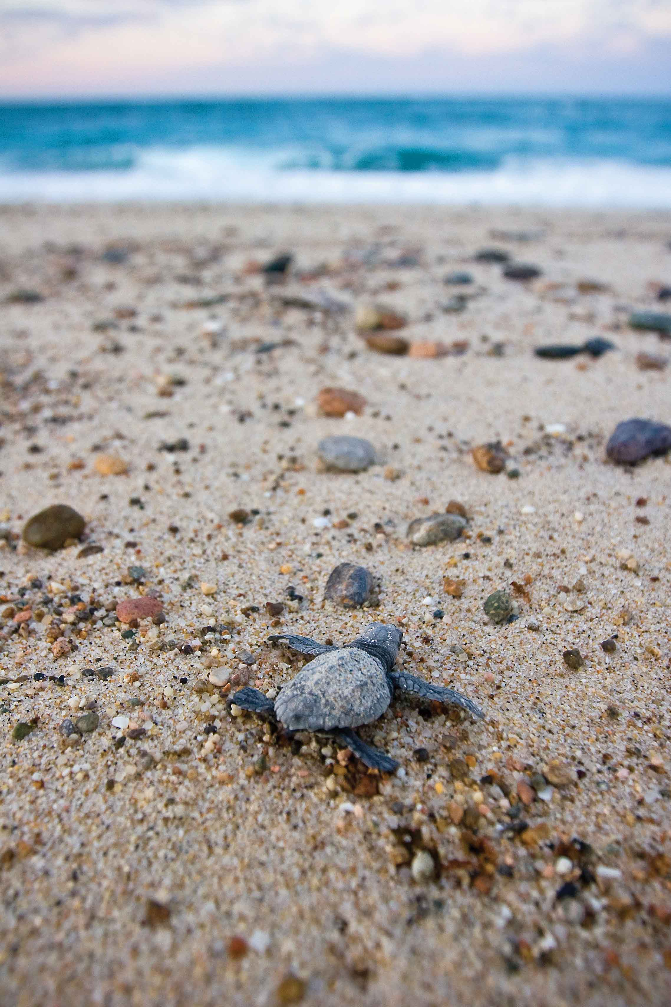 An olive ridley hatchling makes its way to the sea in Baja, California, Mexico, forced to overcome not only stones and other beach debris, but also many hungry predators. © Brian J. Hutchinson