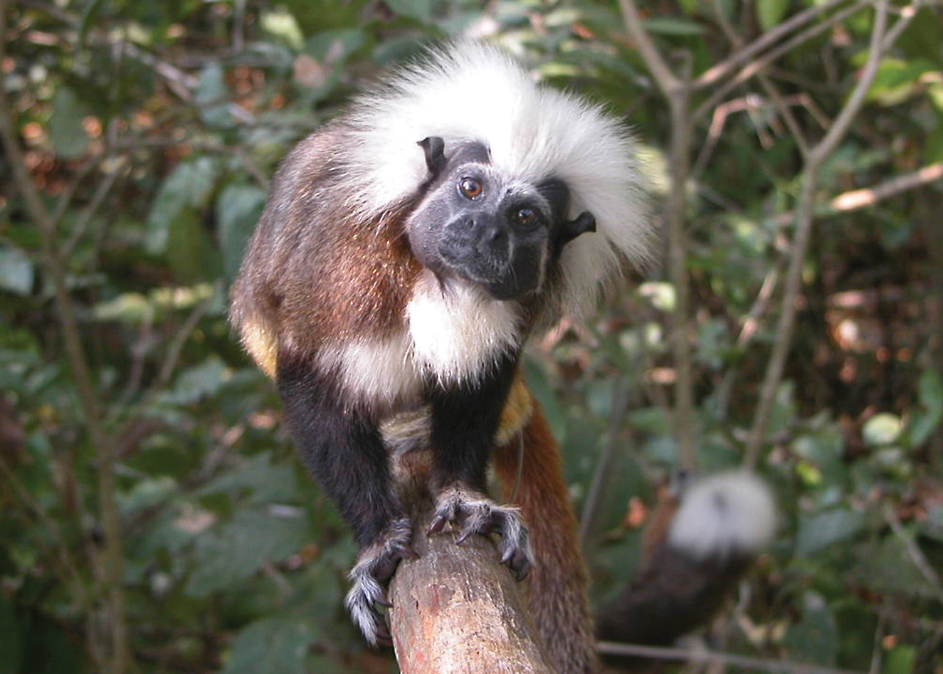 Increasing plastic debris threatens Proyecto Tití's flagship species, the cotton-top tamarin (Saguinus oedipus), as well as sea turtles. © Proyecto Tití