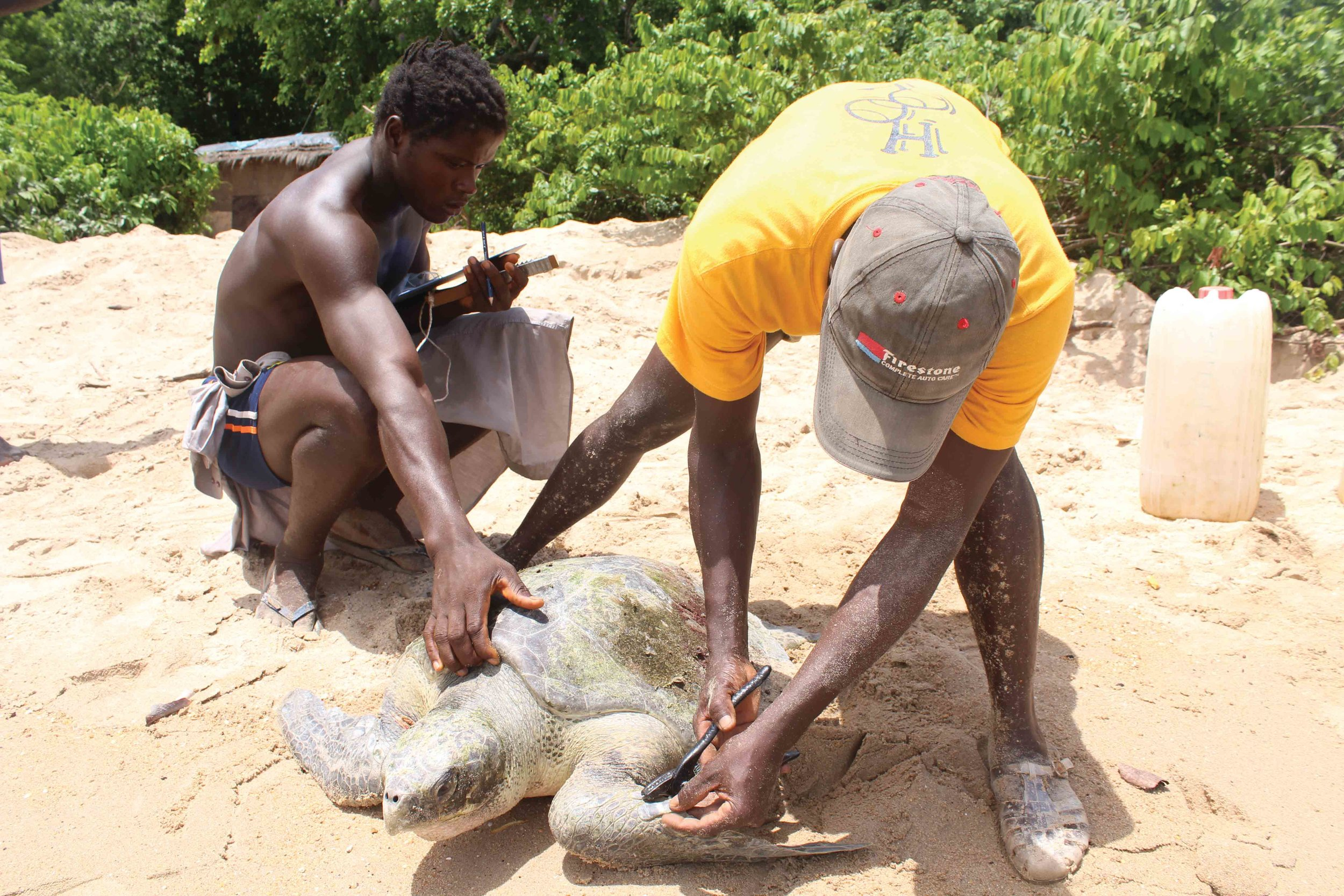 On the island of Poilão in Guinea-Bissau, rangers from João Vieira and Poilão National Park tag an olive ridley turtle that was rescued after being tangled in a fishing net. © BETÂNIA FERREIRA