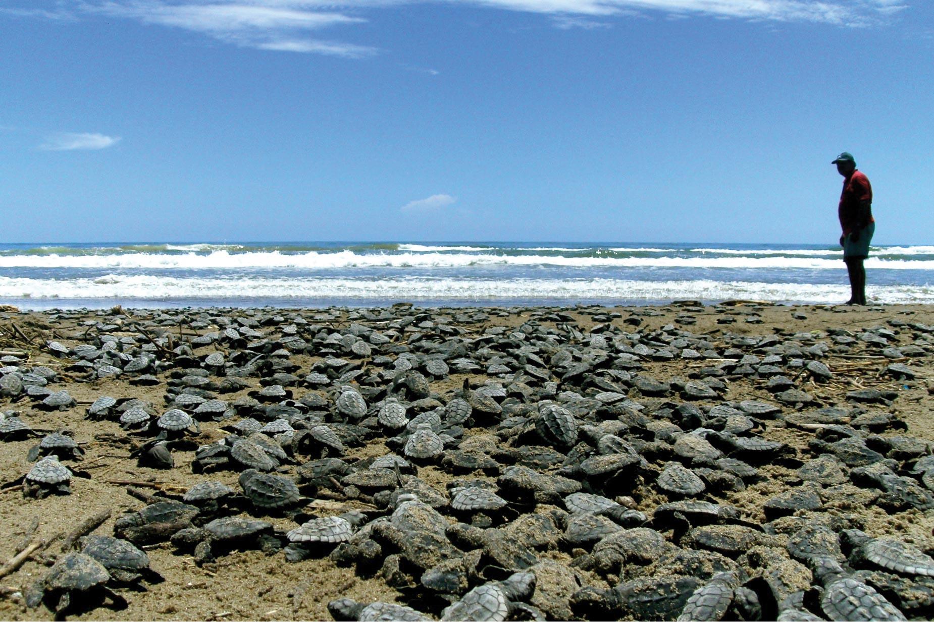 Kemp's ridley hatchings make their way to the sea in Tecolutla, Veracruz, Mexico. © Vida Milenari