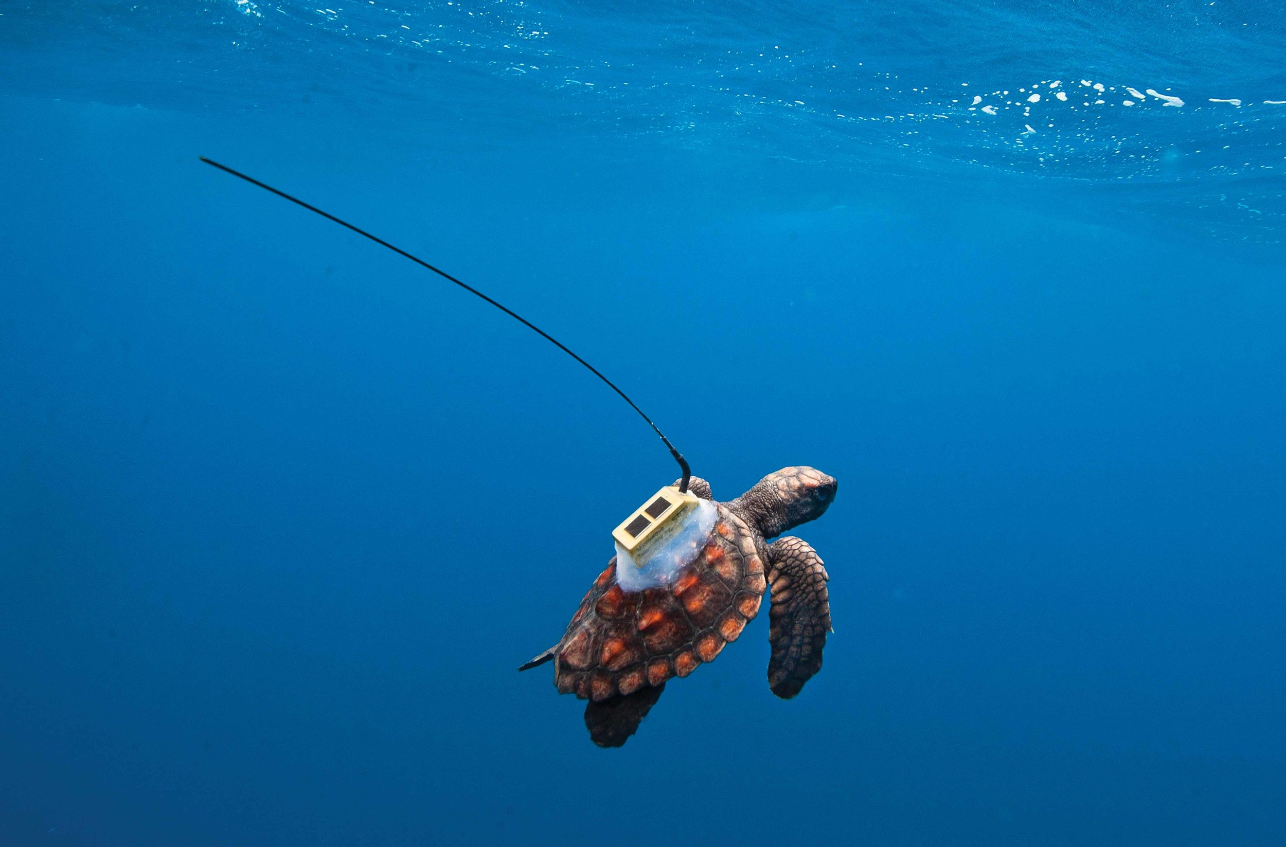 """A far cry from early methods, modern technology has enabled scientists to study sea turtles' """"lost years"""" using solar powered tracking devices. © Projeto Tamar / NOAA / University of Central Florida"""