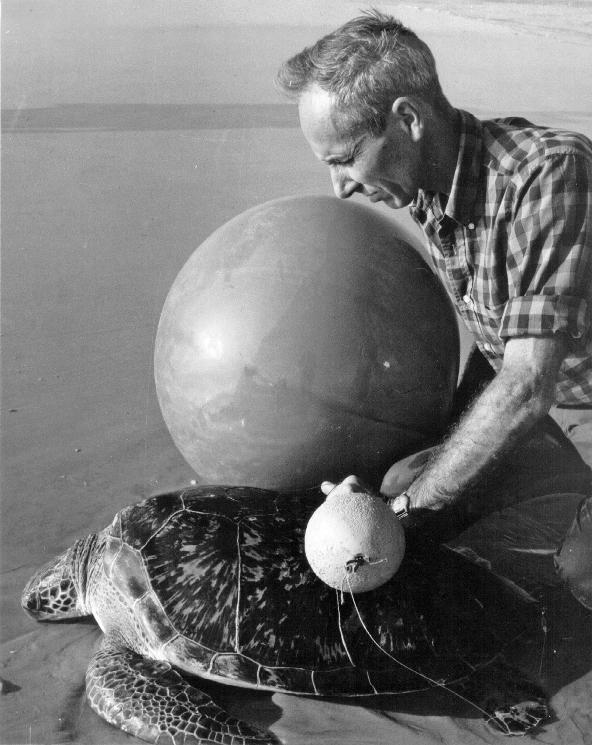 In the 1950s, Dr. Archie Carr used the technology of his day in an attempt to track green turtle inter-nesting movements at Tortuguero, Costa Rica. © Courtesy of Sea Turtle Conservancy