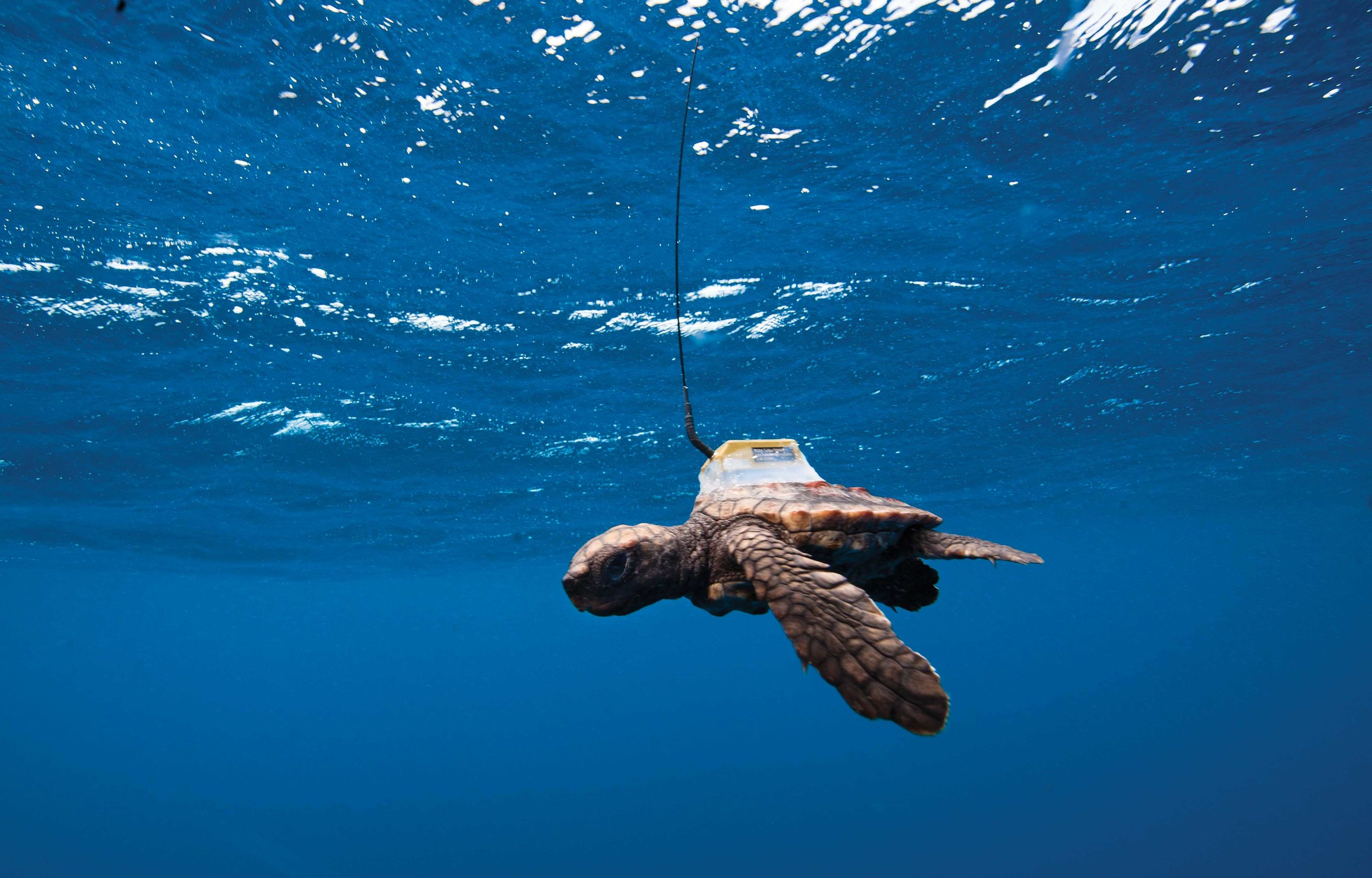 A juvenile loggerhead wearing a satellite transmitter swims near Praia do Forte, Brazil. Newer, smaller satellite transmitters like this one are making it possible to study the movements of juvenile turtles, and these novel data will improve models of turtle distributions at sea. © Projeto TAMAR Image Bank