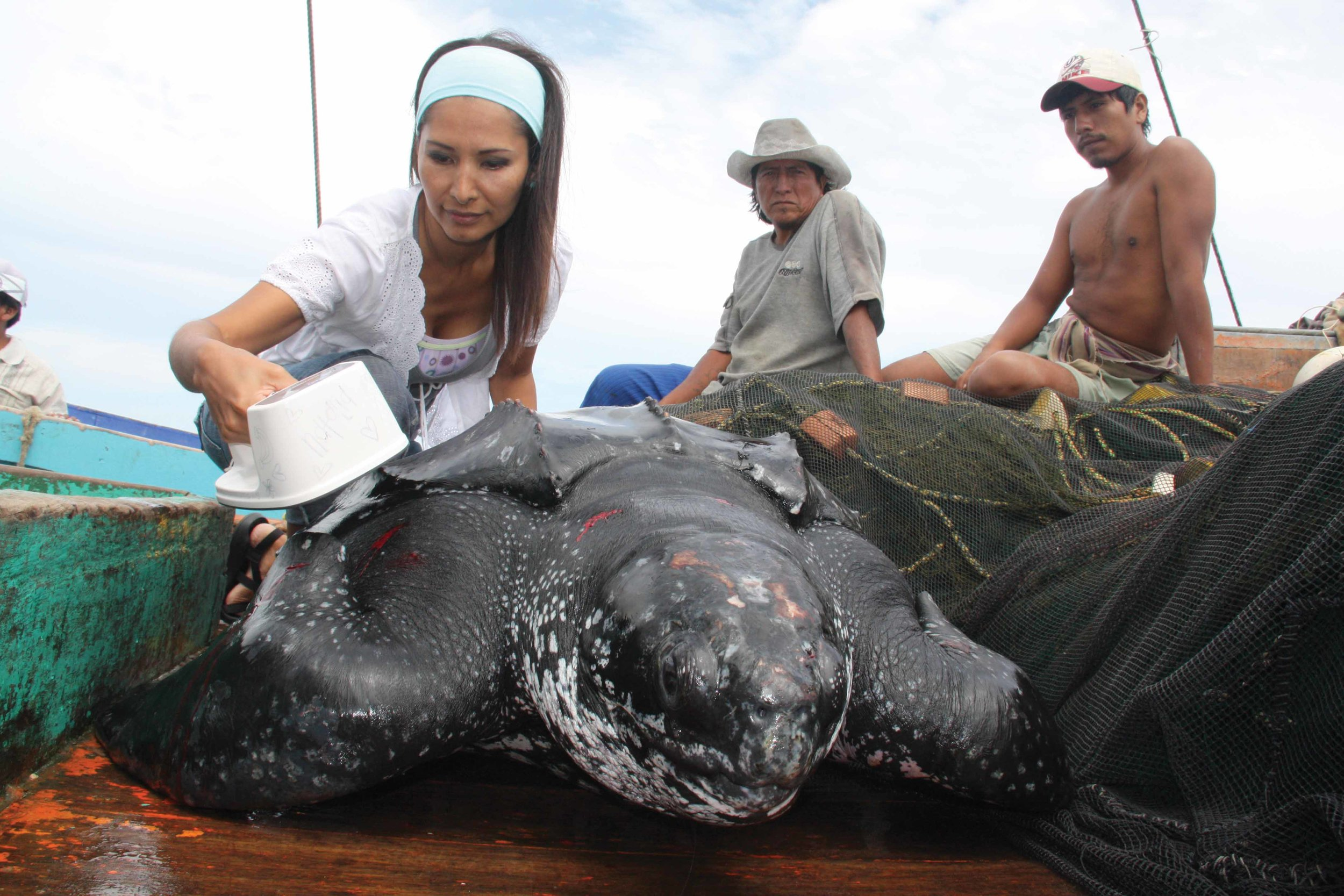 Off the coast of Peru, Joanna Alfaro of ProDelphinus scans a leatherback turtle in search of an implanted microchip tag. © Jeffrey Mangel