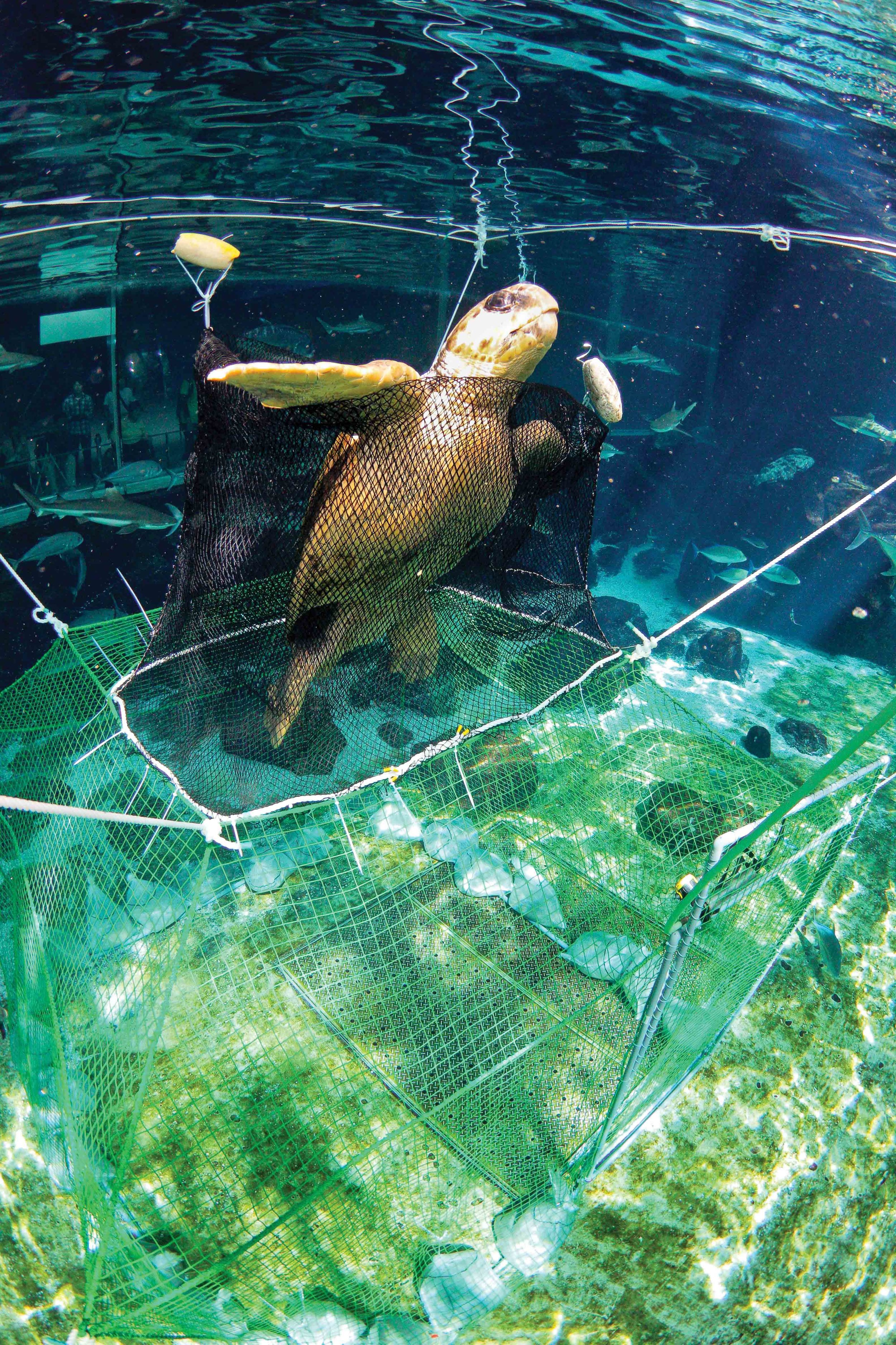 A loggerhead turtle successfully escapes a model pound net trap through a prototype PED inside the exhibition tank of Suma Aqualife Park in Kobe, Japan. During experimental trials, several PED designs that ensured both turtle escape and target fish retention were developed. Field trials are planned for 2012–2013. Photo: The Yomiuri Shimbun