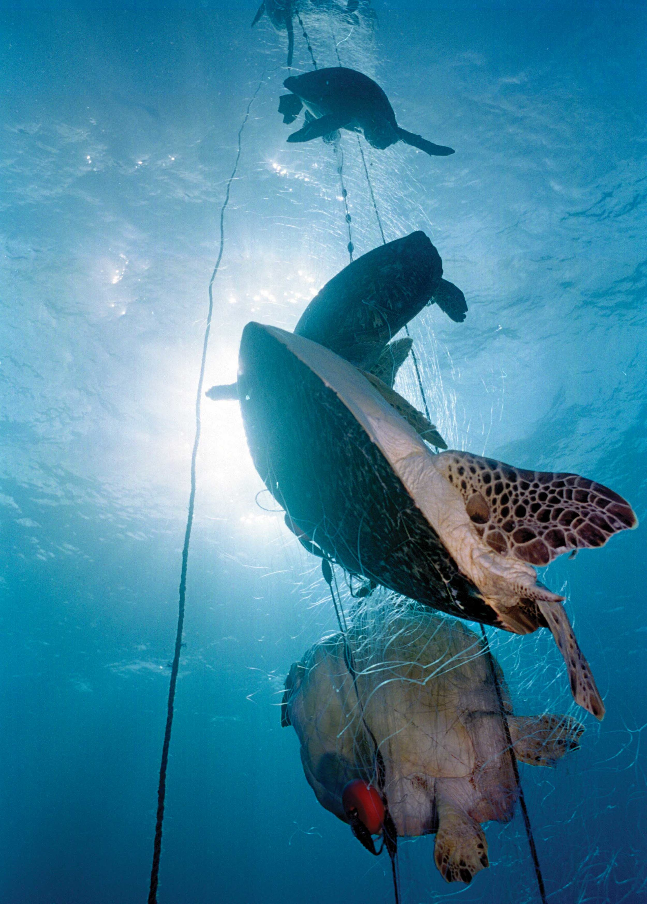 Bycatch was consistently ranked as one of the greatest threats to sea turtle populations globally. Here, several green turtles were accidentally captured by a single net off the coast of Brazil. © Projeto Tamar Brazil – Image Bank