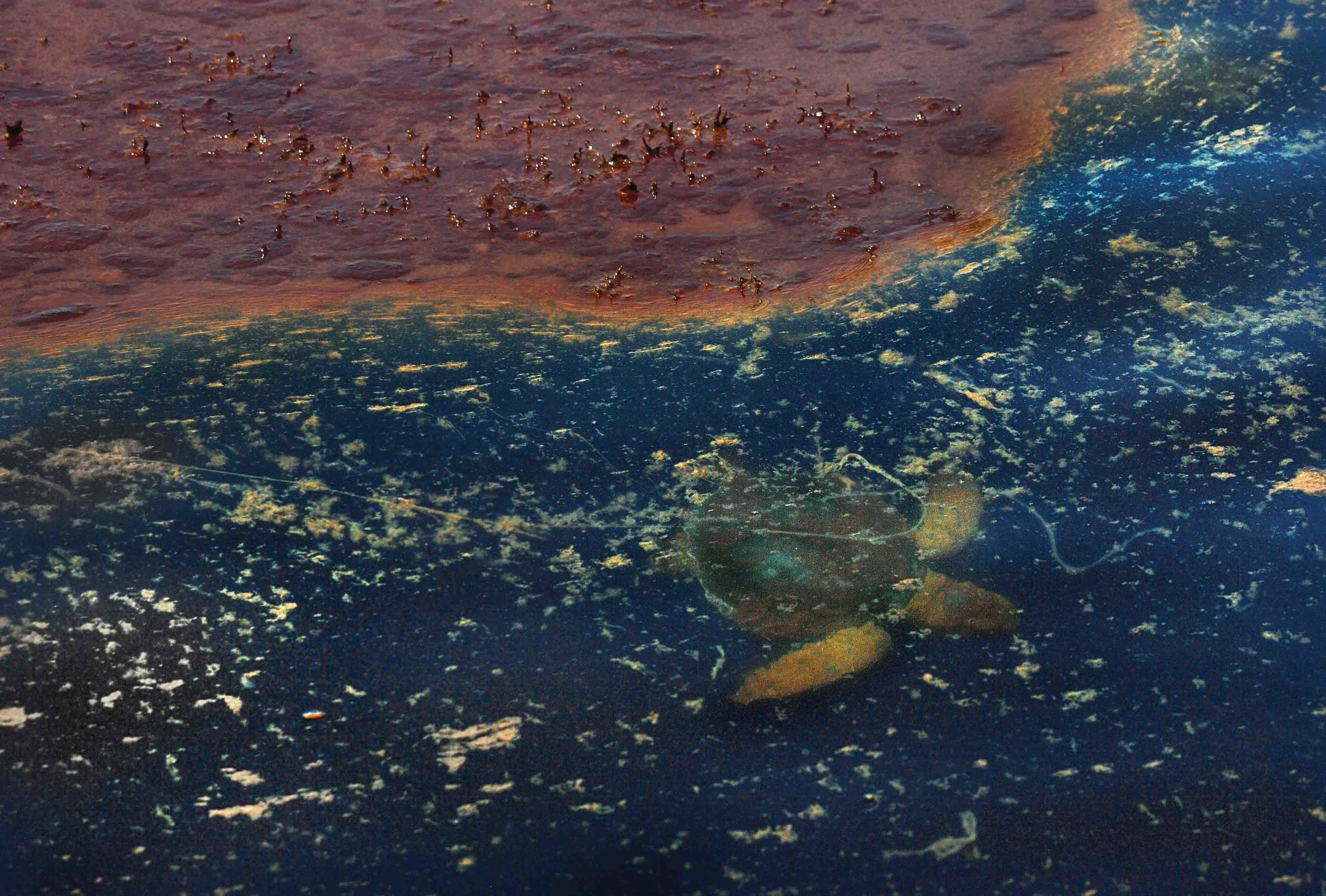 A Kemp's ridley turtle swims out from under an oil slick as rescue workers attempt to capture the animal for rehabilitation. Unfortunately, this turtle could not be successfully captured. © Carolyn Cole / Los Angeles Time