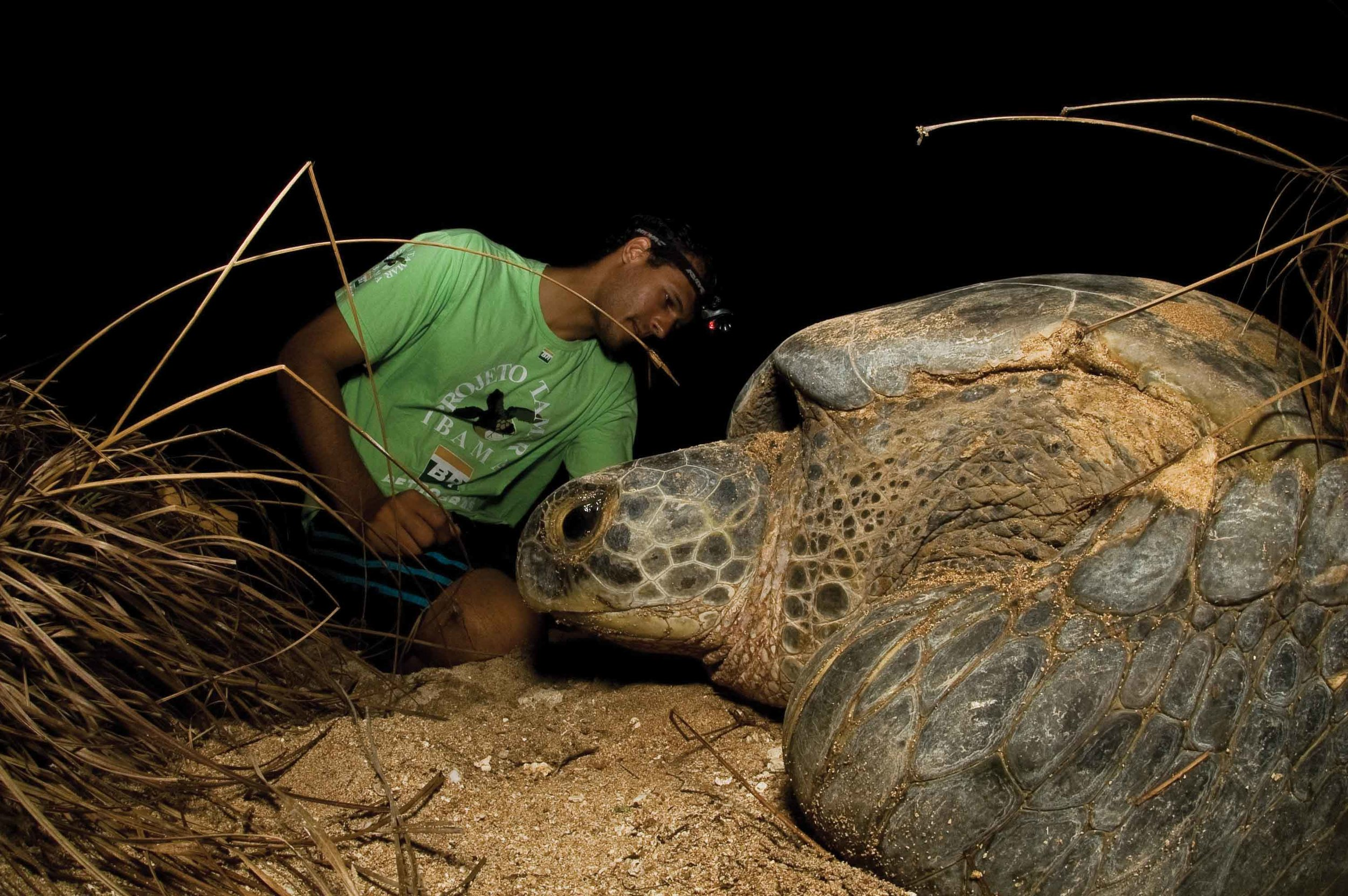 A researcher with Projeto TAMAR-ICMBio in Brazil monitors a nesting green turtle that was encountered during a nighttime beach survey. © Projeto Tamar – Marta Granville