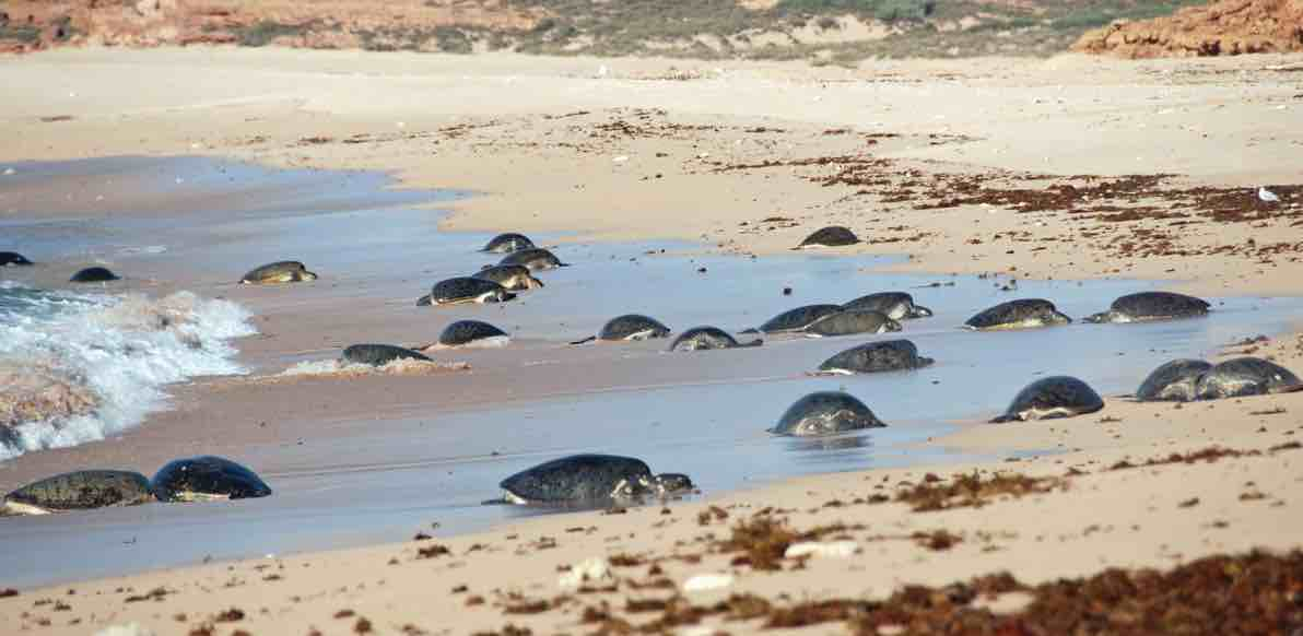 Green turtles haul ashore to bask on the remote coast of western Australia. The green turtle population in this relatively undeveloped region is thriving thanks to low levels of threat from human activities and strong protections by the Australian government. © Kellie Pendoley