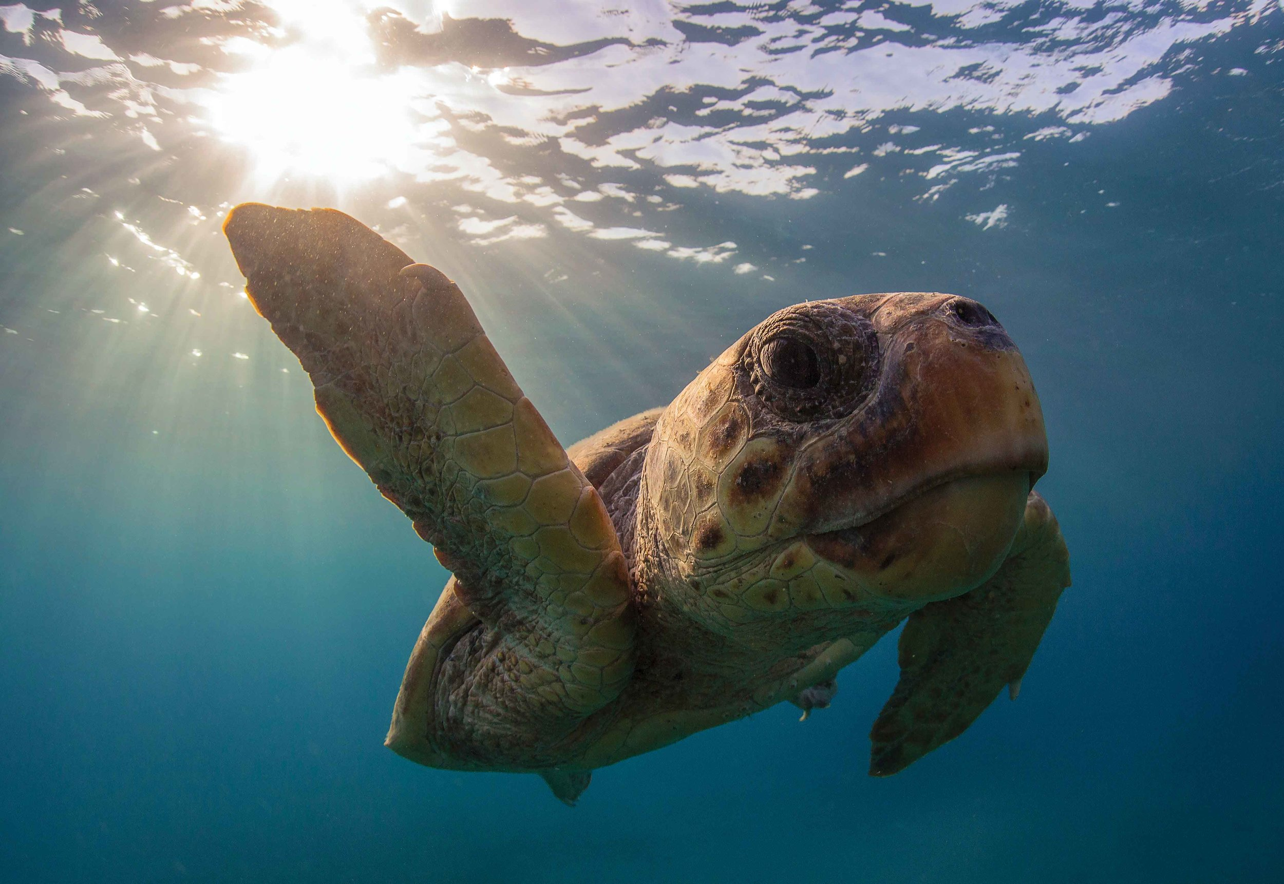 "A male loggerhead turtle swims off of Zakynthos Island, Greece. According to a new IUCN Red List Assessment, loggerheads are now considered ""vulnerable"" globally. © KOSTAS PAPAFITSOROS"
