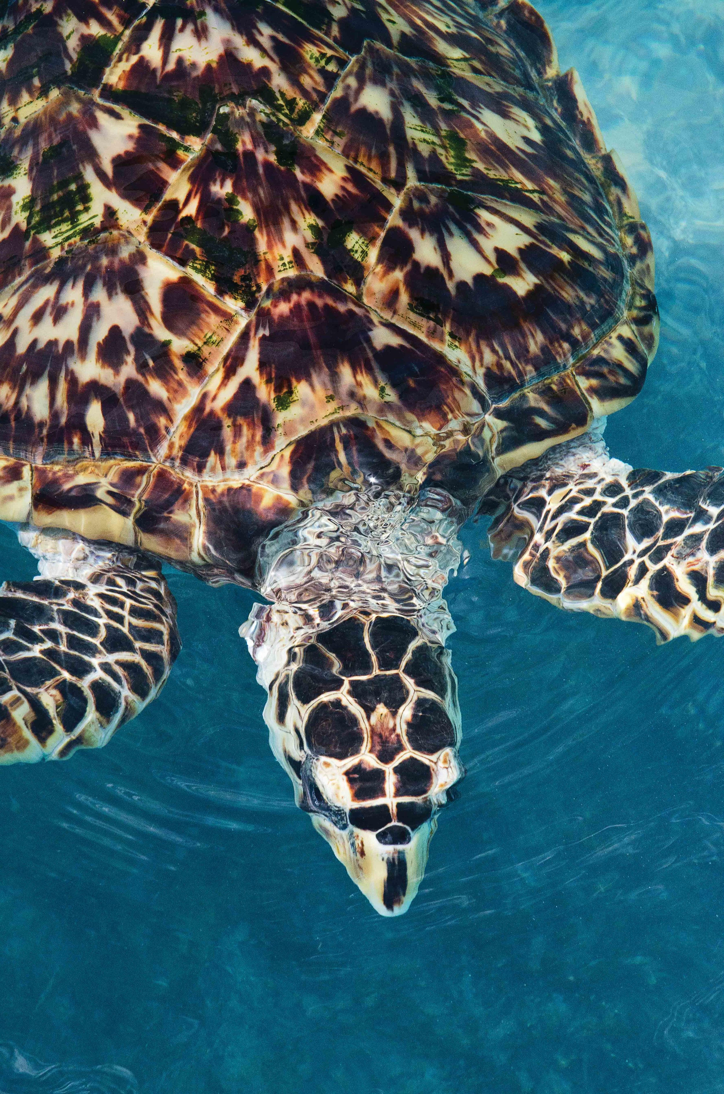The hawksbill turtle's beautiful shell has been a precious commodity for centuries, contributing to the species' global decline. © PETE OXFORD