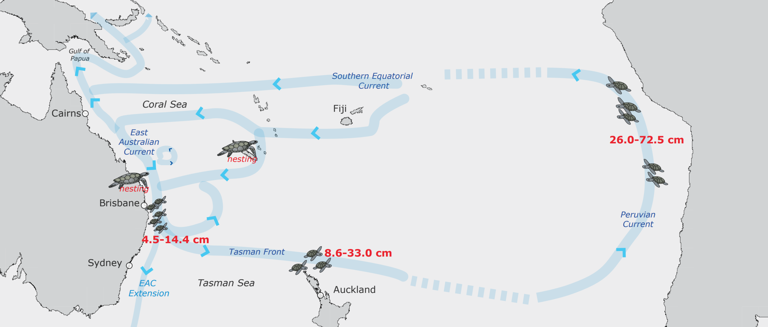 The puzzle of the loggerhead life cycle in the southern Pacific Ocean is solved by tracing the path of the currents. A recent genetics study showed that little loggerheads from Australia and New Caledonia, small juveniles in New Zealand, and larger juveniles in Peru belong to the same population, which is connected by major currents that link opposite sides of the southern Pacific Ocean. Blue arrows indicate currents, and red text indicates turtle body size. © MICHELLE BOYLE