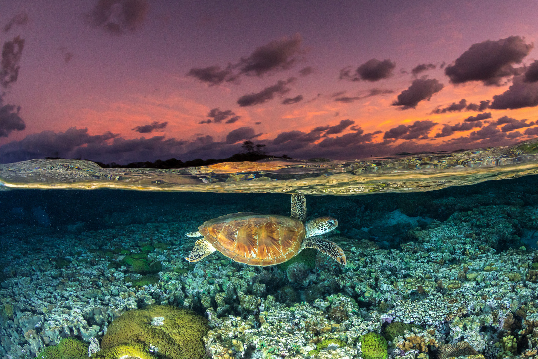 A green turtle at sunset on the Great Barrier Reef, Australia. © Jordan Robins / Coral Reef Image Bank