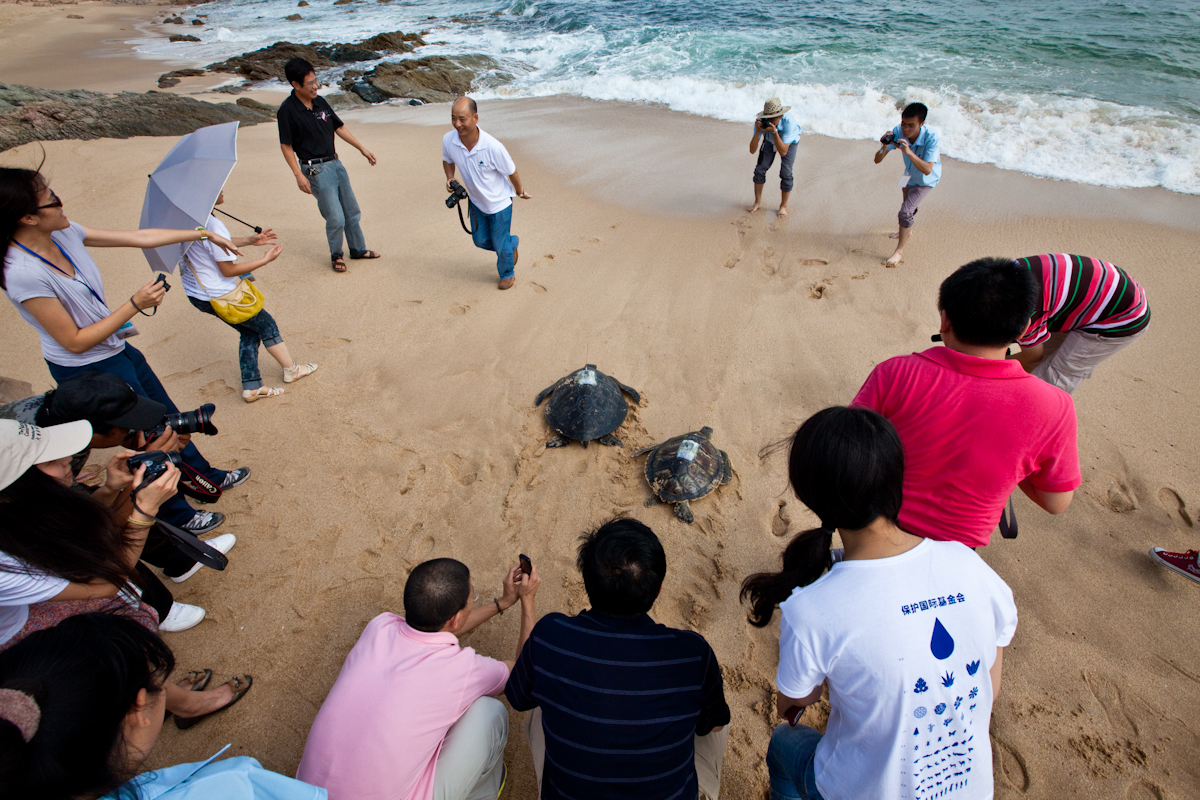 Green turtles fitted with satellite tags leave the beach in Gangkou Sea Turtle National Nature Reserve, southern China. © Brian J. Hutchinson