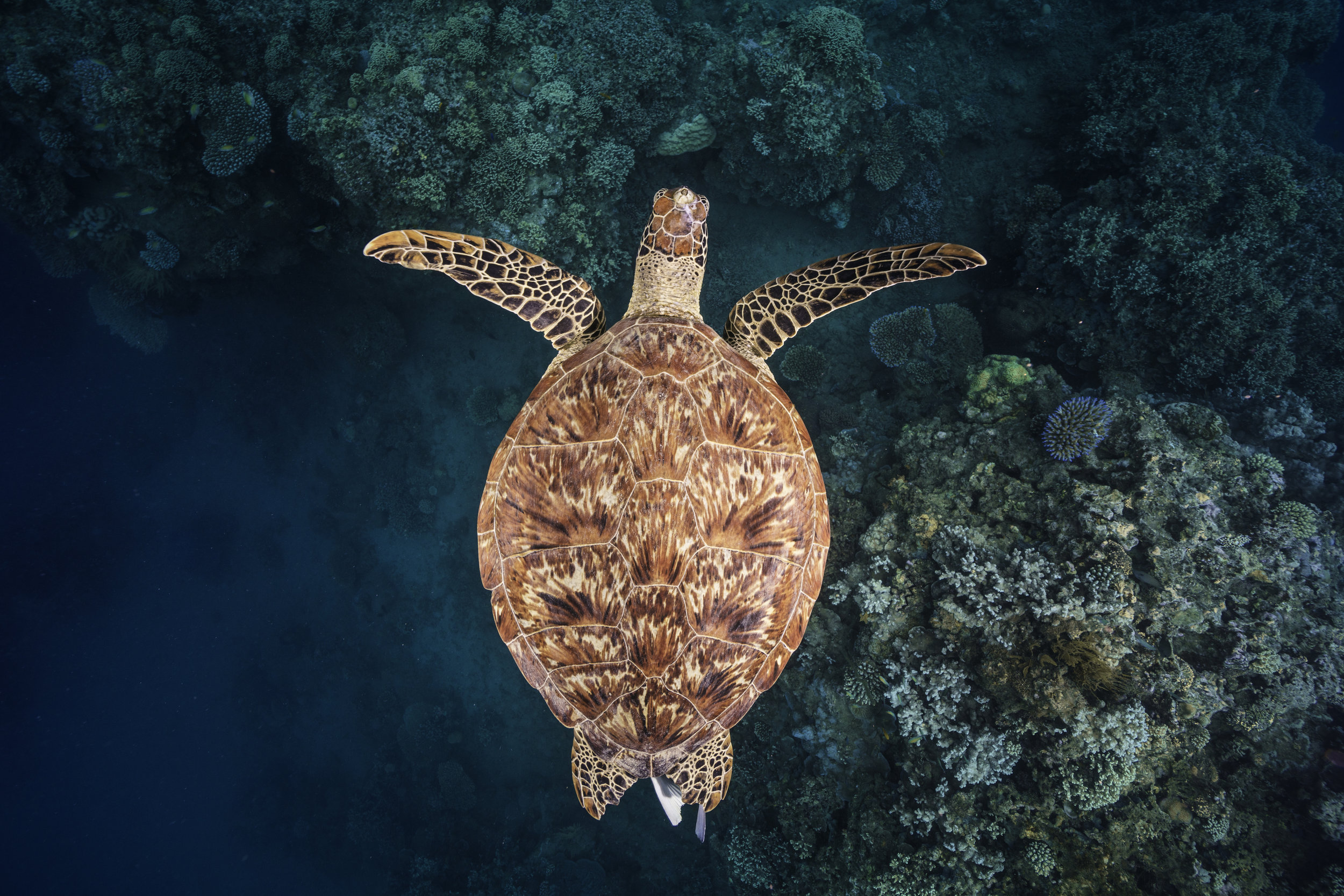 Green turtle in Mayotte. © Gaby Barathieu / Coral Reef Image Bank