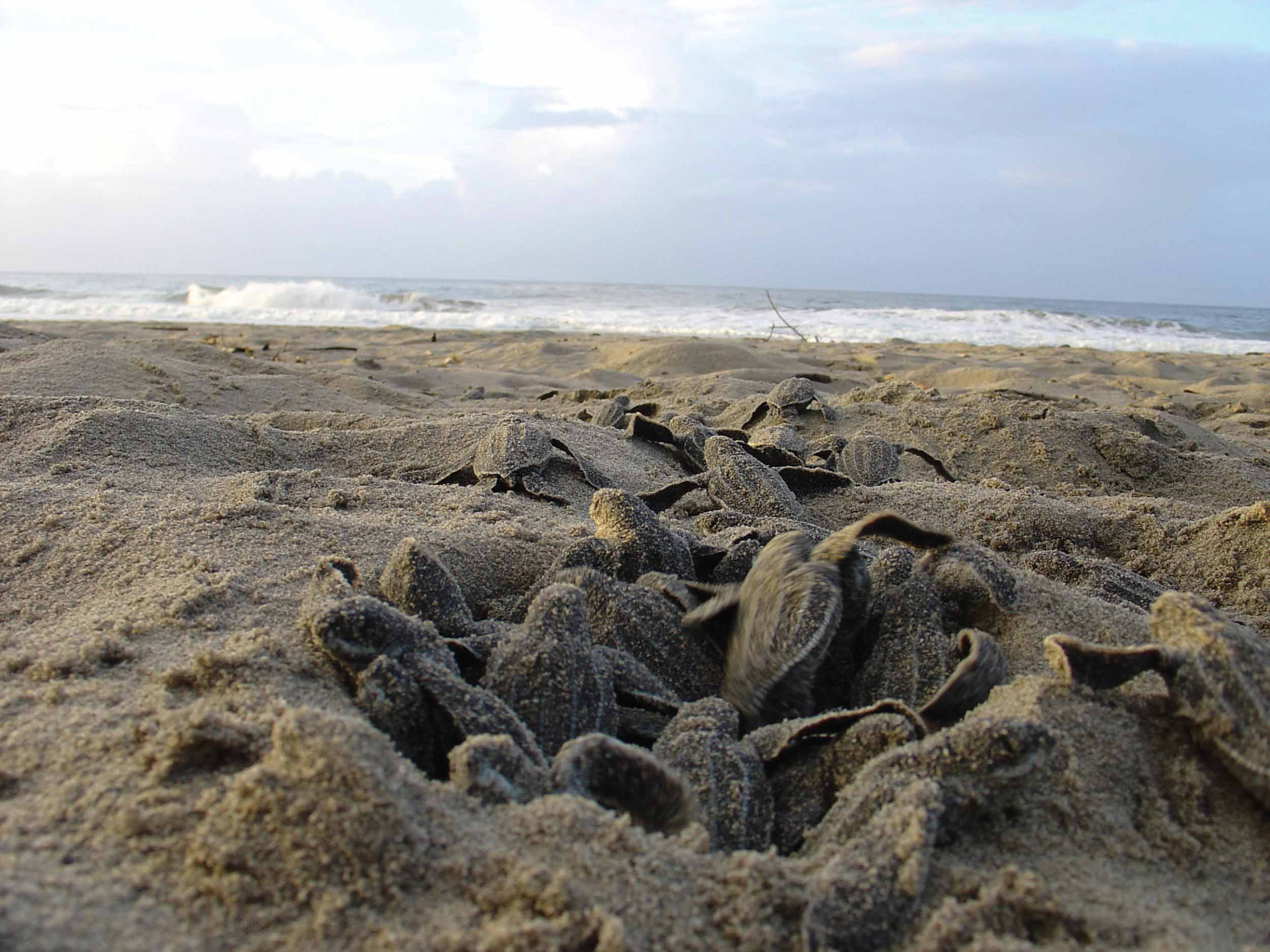 Leatherback hatchlings make their way from nest to sea. © SUZANNE LIVINGSTONE / UNIVERSITY OF GLASGOW