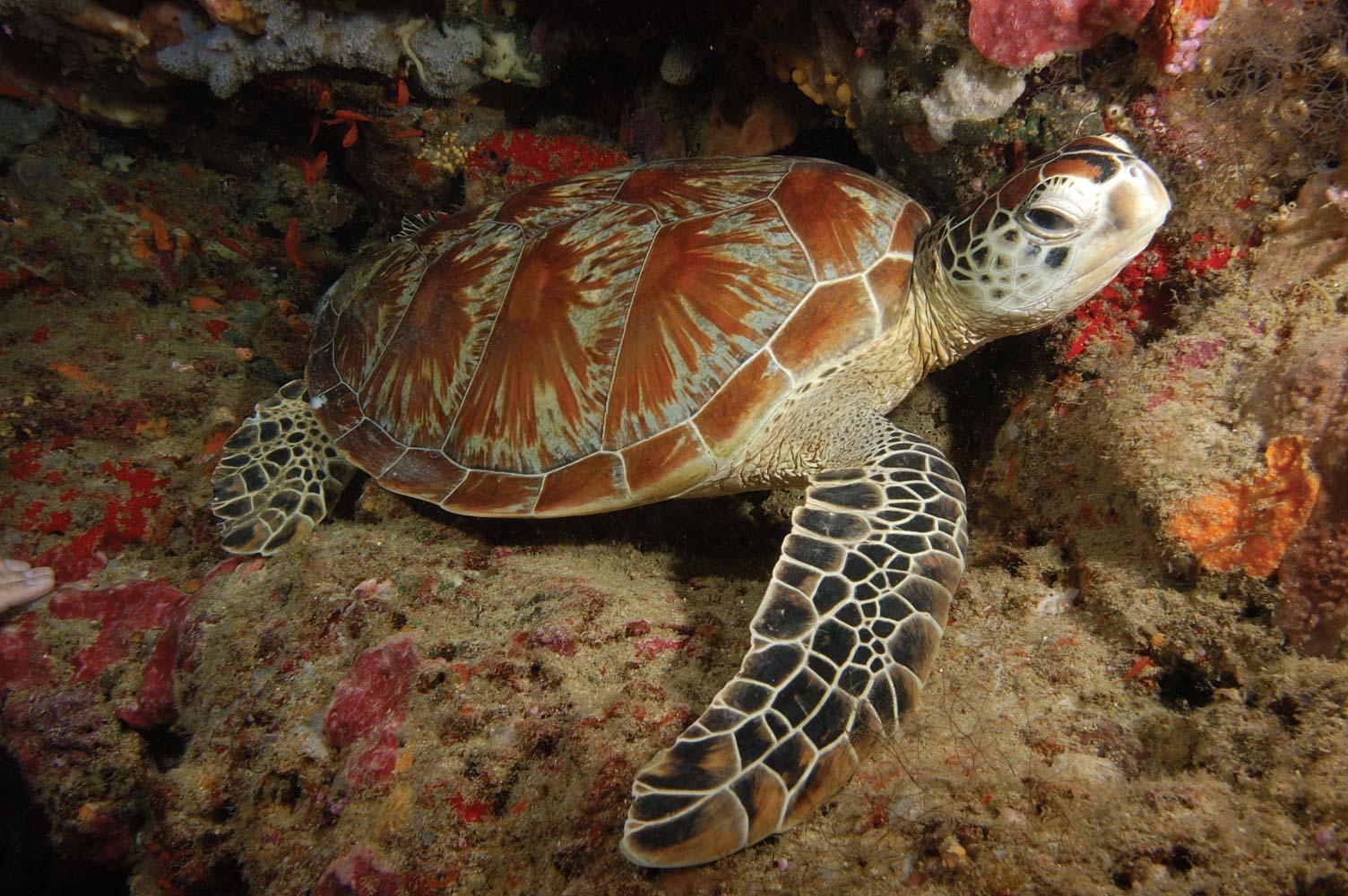 Resting green turtle near Sipadan Island, Sulawesi Sea, Sabah, Malaysia. © NICHOLAS PILCHER