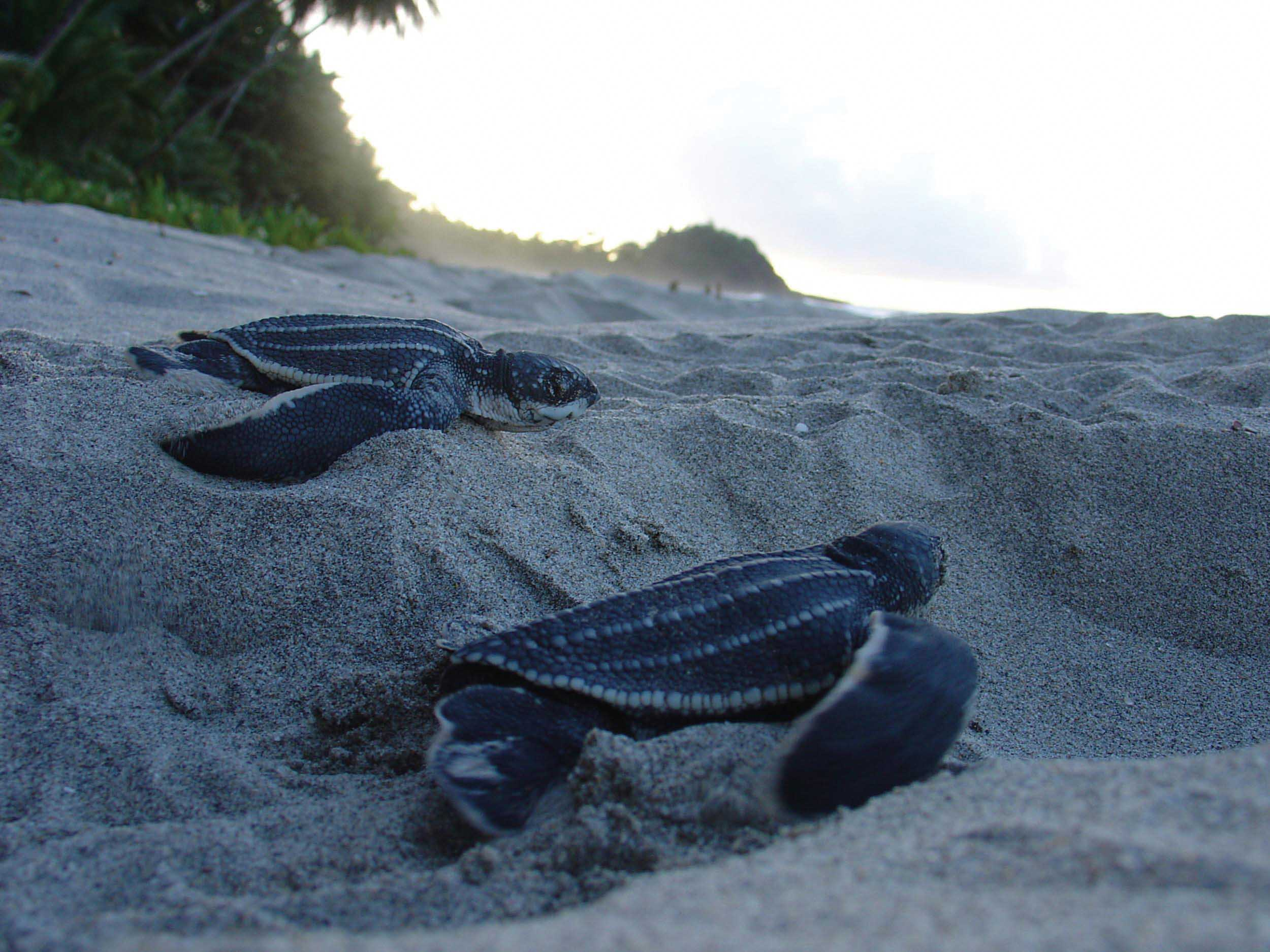Leatherback hatchlings head to sea. © SUZANNE LIVINGSTONE / UNIVERSITY OF GLASGOW