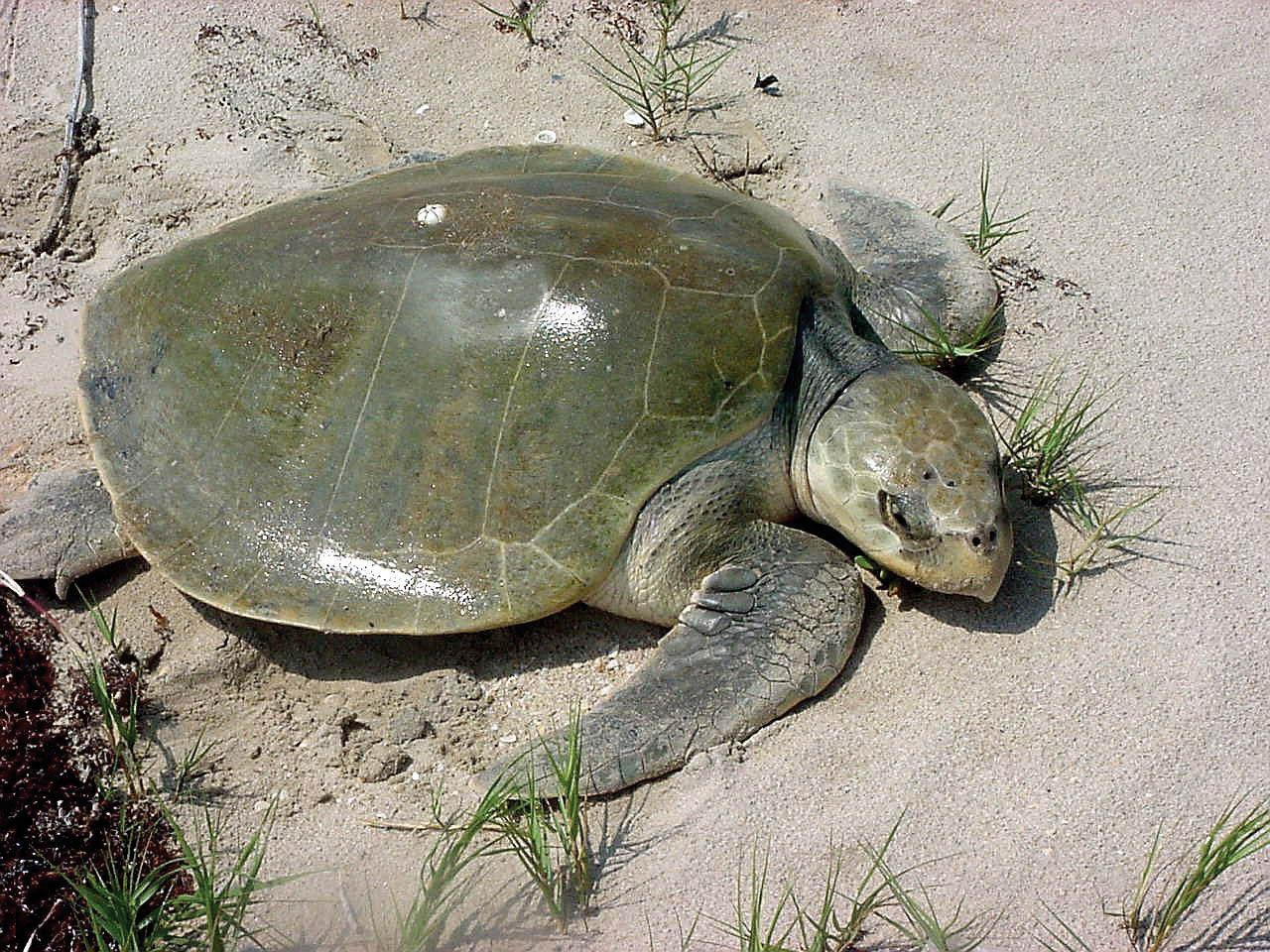 A Kemp's Ridley sea turtle on a nesting beach. © THANE WIBBELS
