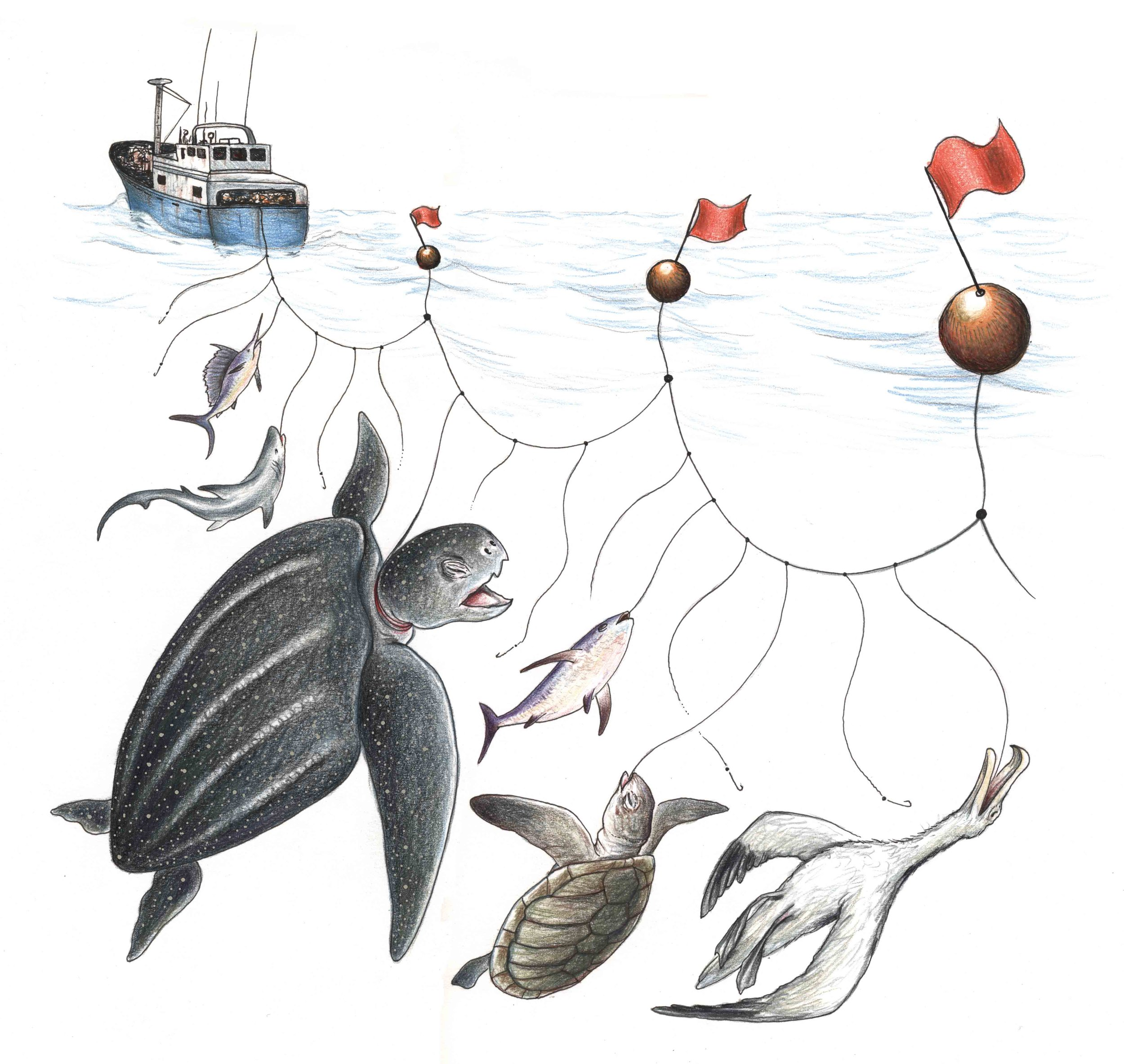 The billions of hooks set on longlines throughout the world's oceans each year injure and kill millions of animals other than the fishers' targeted fish species. Sea turtles, sharks, albatross and other seabirds, and dolphins, seals and other marine mammals are among the victims of longline fishing. © STEPHEN NASH / CONSERVATION INTERNATIONAL
