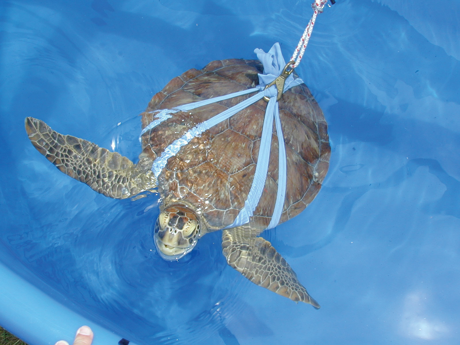 A juvenile green turtle in a cloth harness is tethered to an electronic tracking system inside a magnetic coil. This methodology is used for magnetic navigation studies. © KENNETH J. LOHMANN