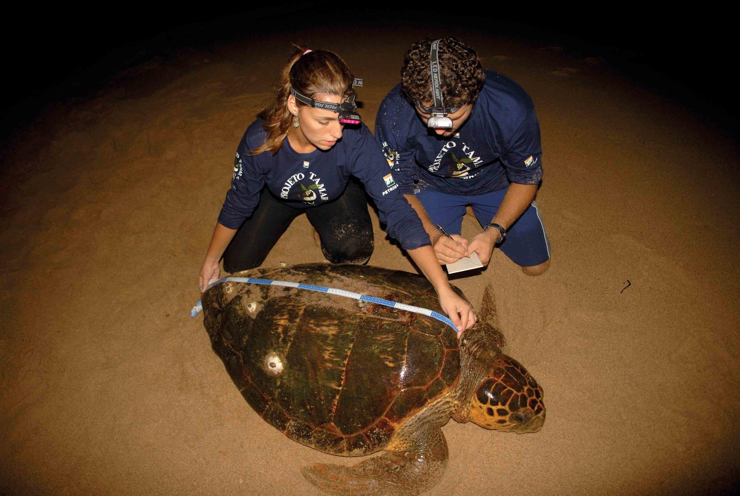Projeto TAMAR scientists record the length of a loggerhead's shell. © TAMAR-IBAMA