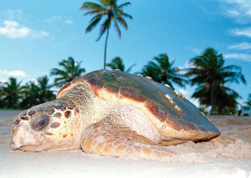 A loggerhead turtle returns to the sea after nesting. © TAMAR-IBAMA