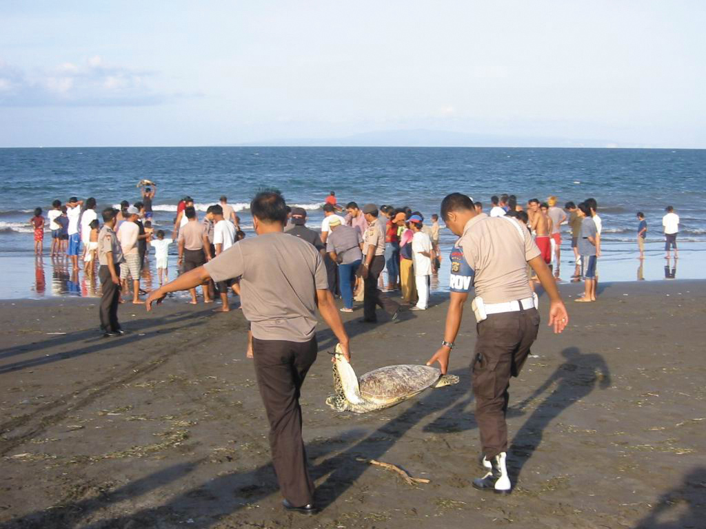 Balinese police officers and local community members work together to enforce sea turtle protection. Here they release a turtle that has been illegally captured, 2004. PHOTO COURTESY OF NGURAH MAHARDIKA