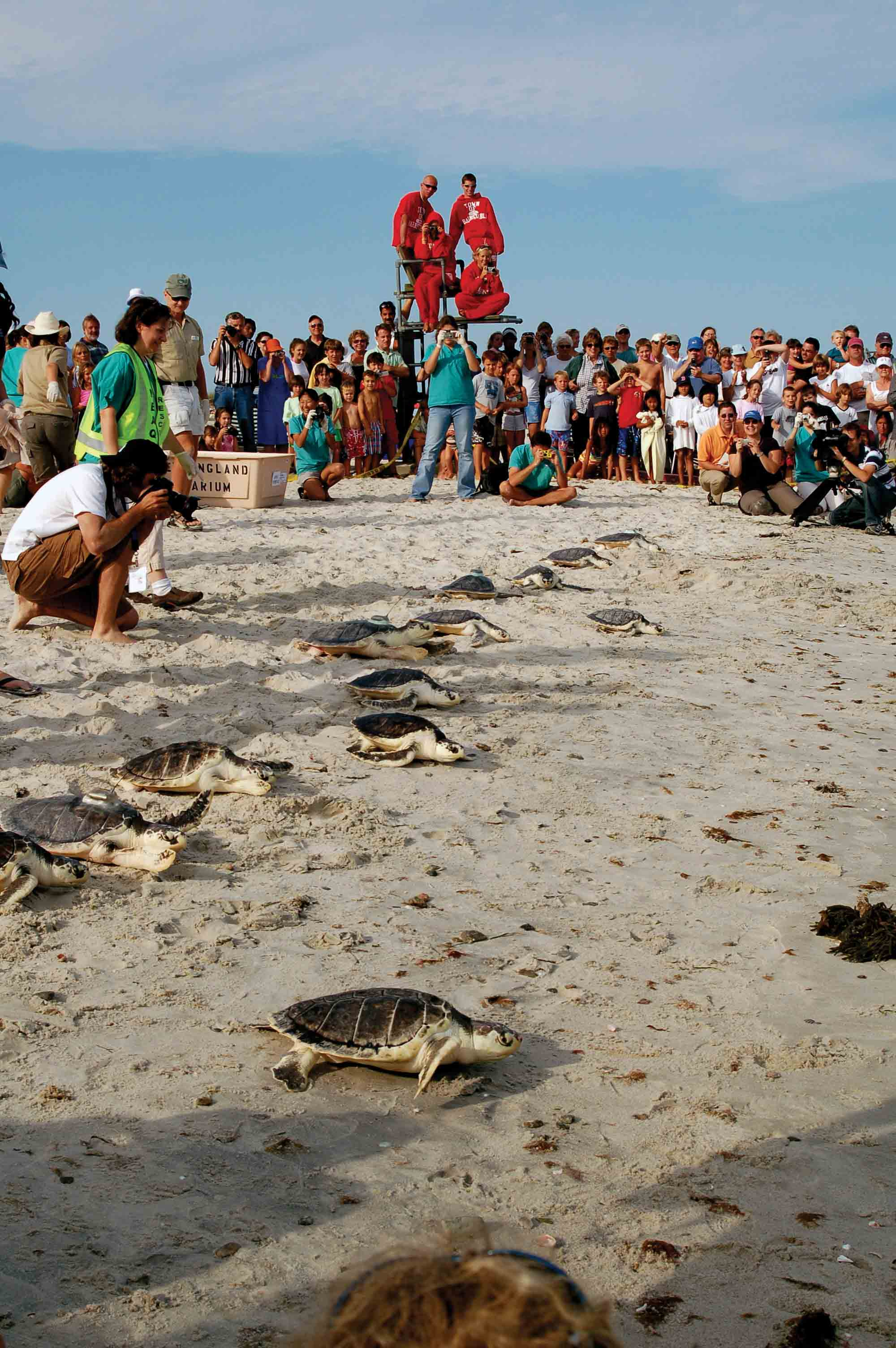 Local residents help to release rehabilitated Kemp's Ridley sea turtles into Nantucket Sound off Cape Cod, U.S.A. PHOTO COURTESY OF NOAA.