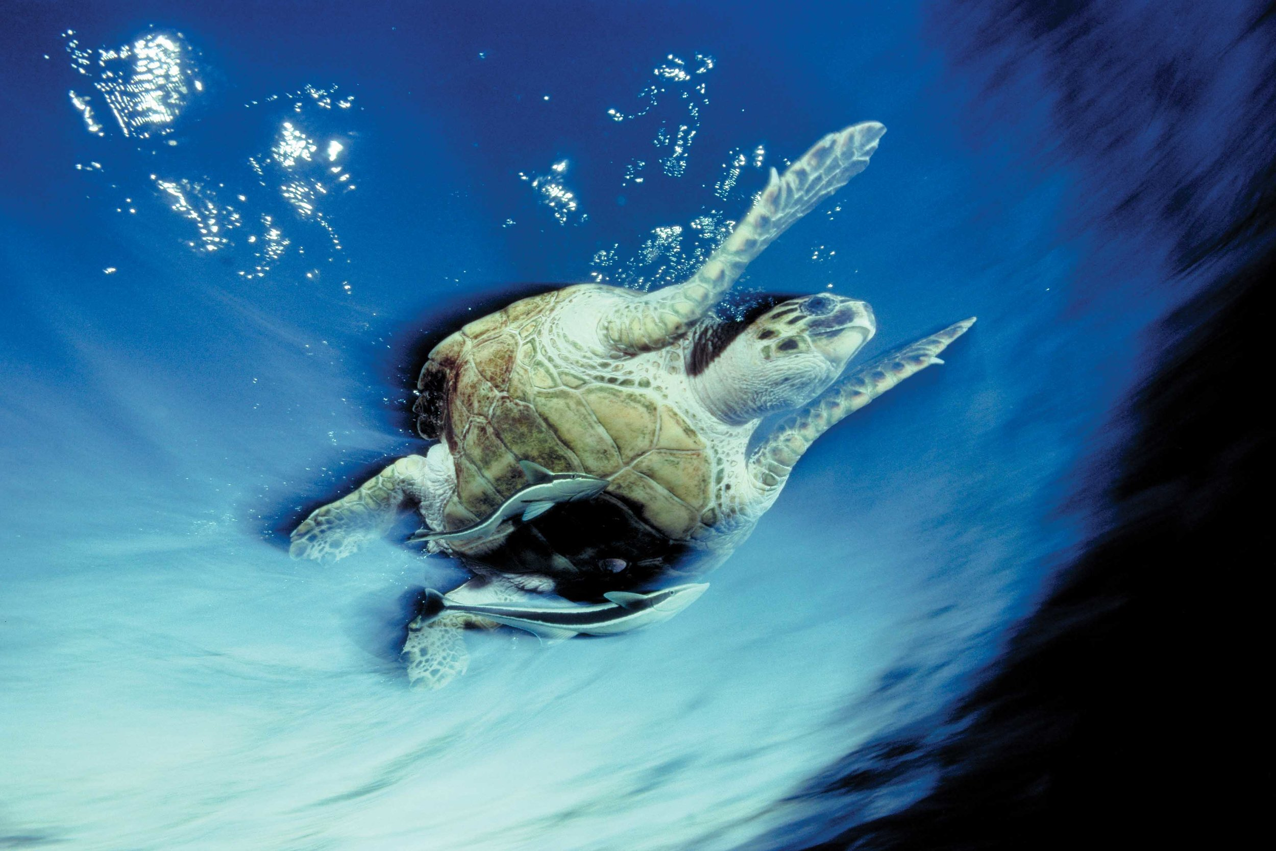 A hawksbill turtle propels itself through waters off the coast of Israel. © David Doubilet