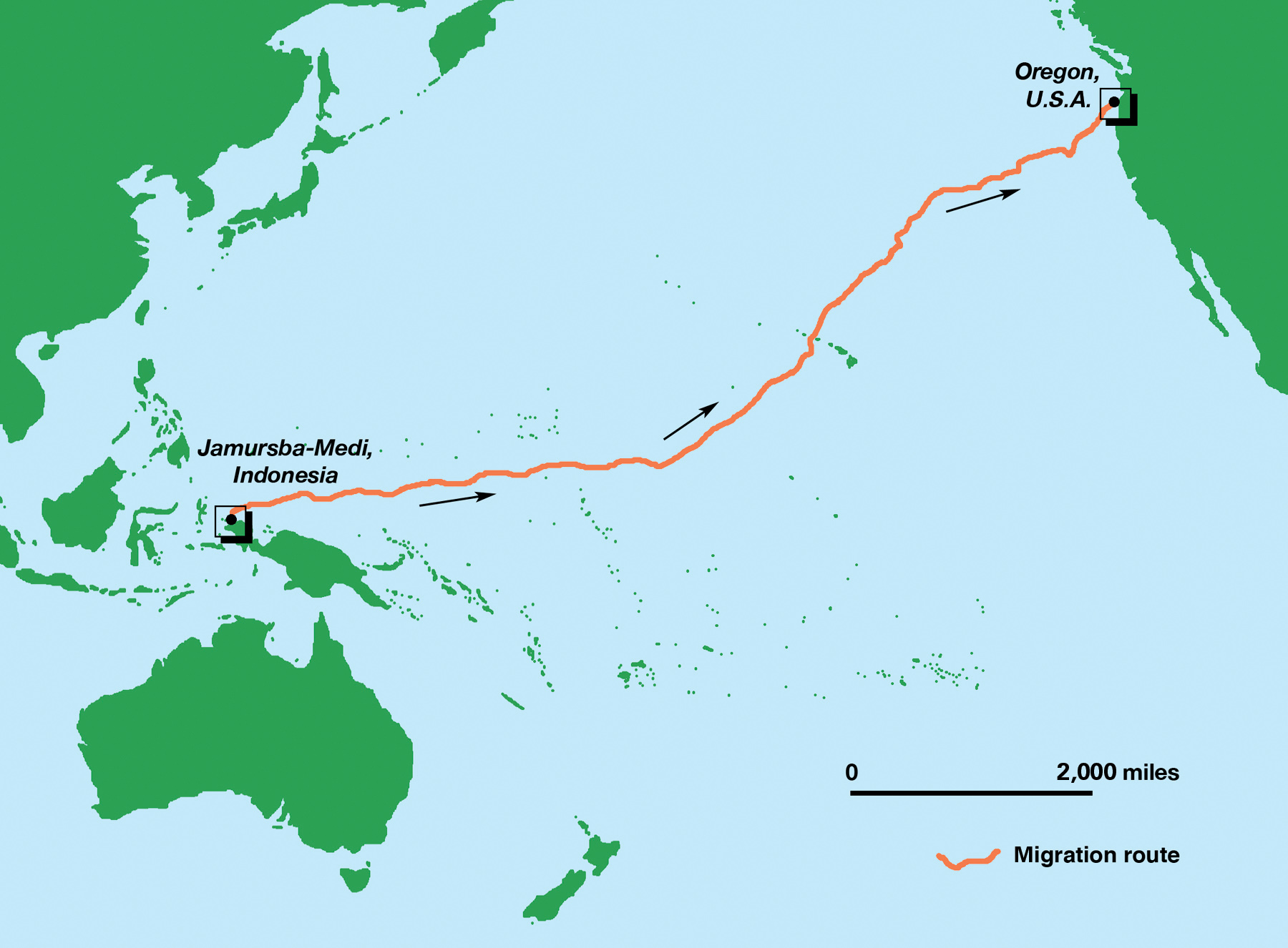 This map illustrates the migration of one female leatherback turtle, after nesting in Jamursba Medi, Papua, Indonesia, to foraging grounds off the coast of Oregon, United States— a distance of 20,558 kilometers (12,774 miles). © Stephen Nash / Conservation International