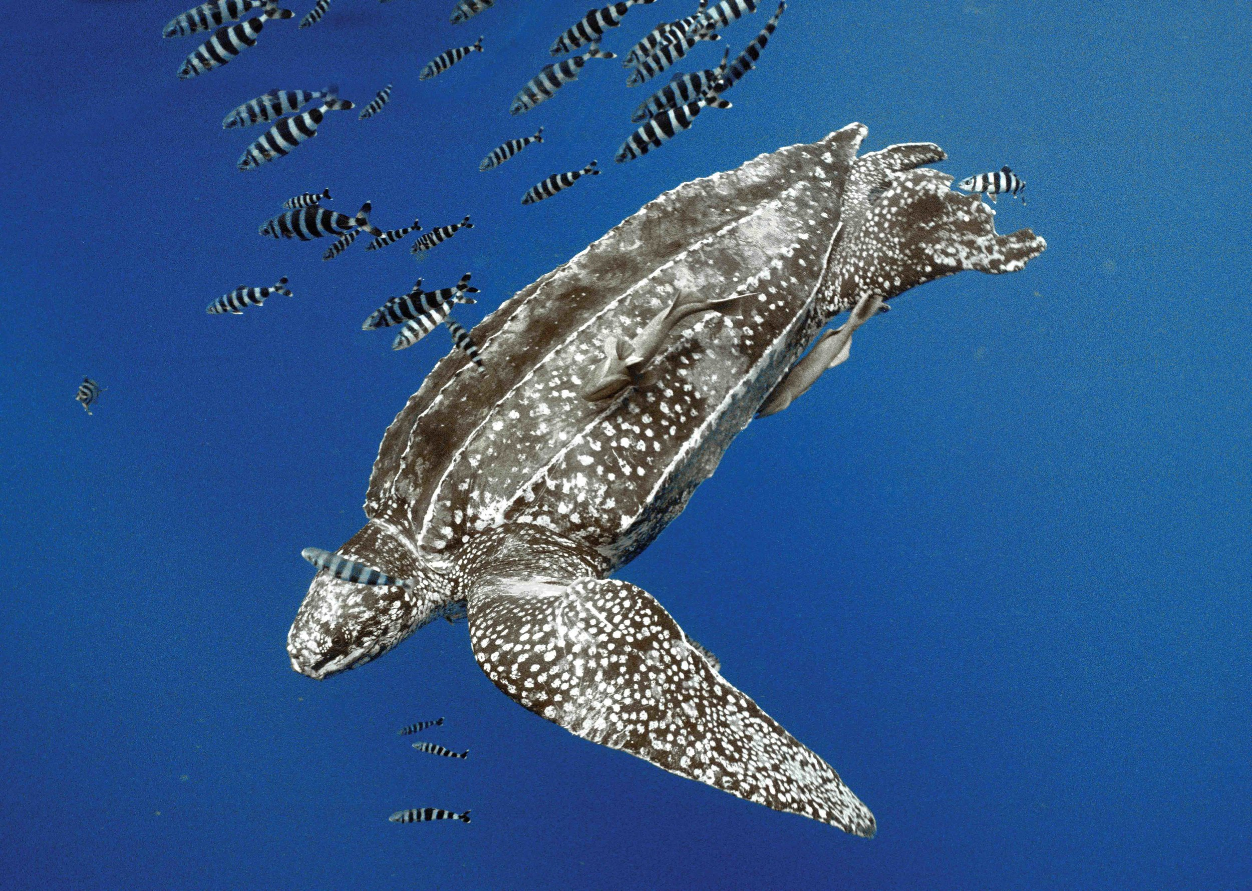 Leatherbacks can dive up to a mile deep and can cross thousands of miles of ocean in a year. © TAMAR - IBAMA