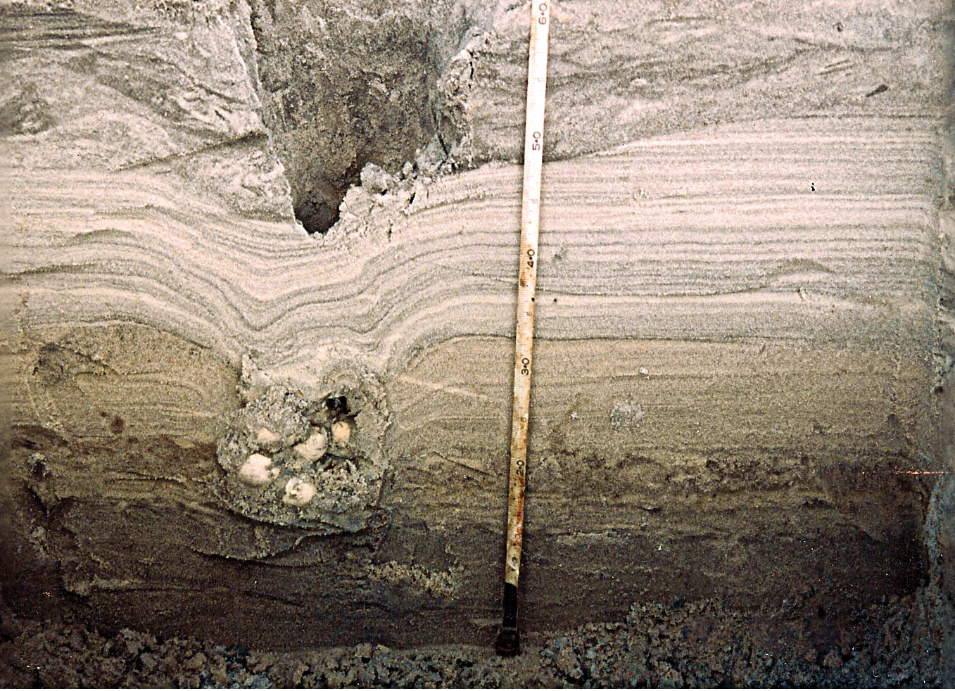 These two images show cross-sections of the fossilized sea turtle nest (above) from the late Cretaceous period located in Fox Hills Sandstone, Colorado, and a modern loggerhead turtle nest (bottom) on St. Catherines Island, Georgia. Both are collapsed nests with eggs remaining in the egg chamber. © Gale Bishop