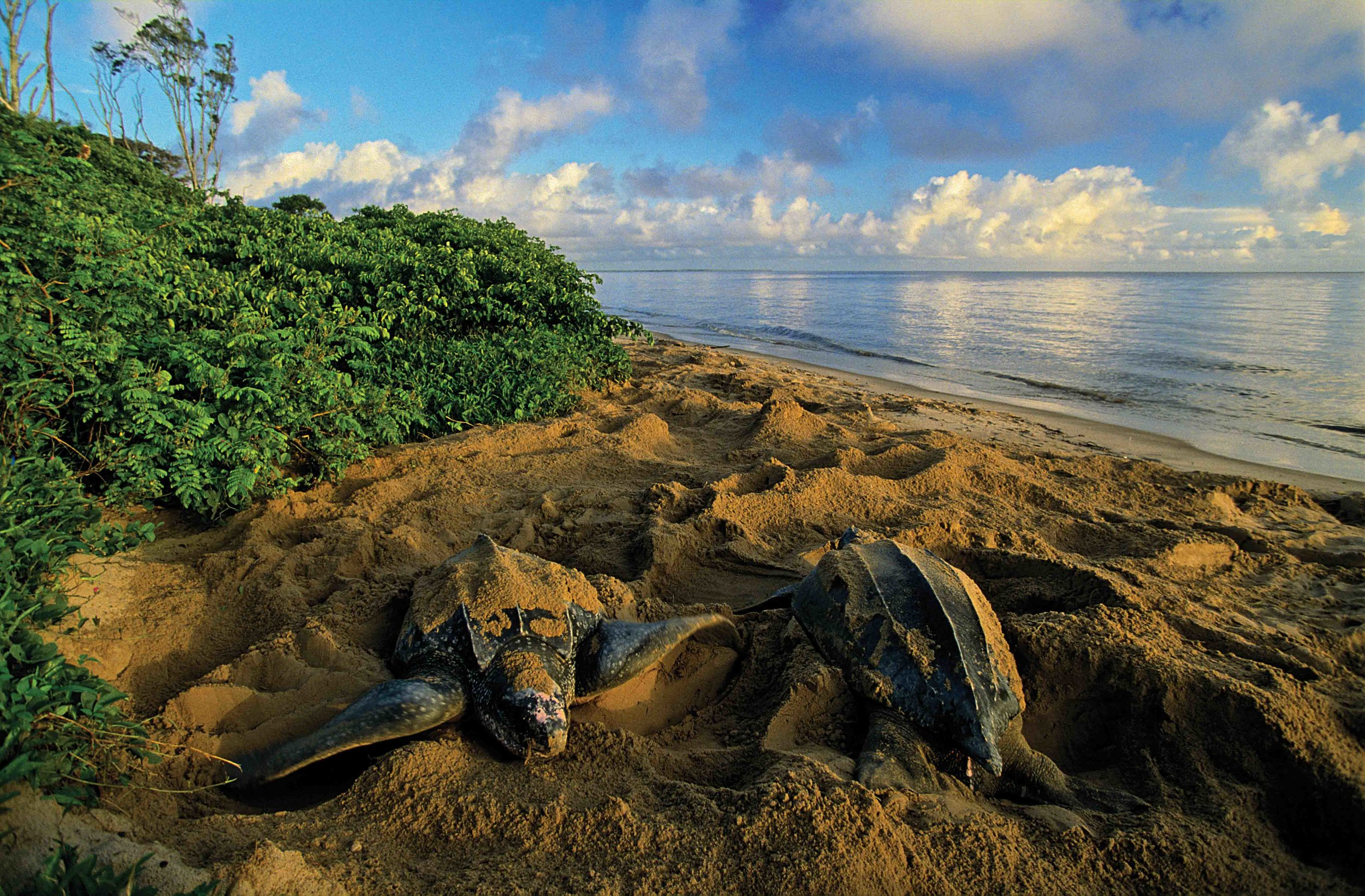 Two leatherbacks camouflage their nests on Les Hattes beach, in front of the village of Yalimapo in French Guiana. © Olivier Grünewald