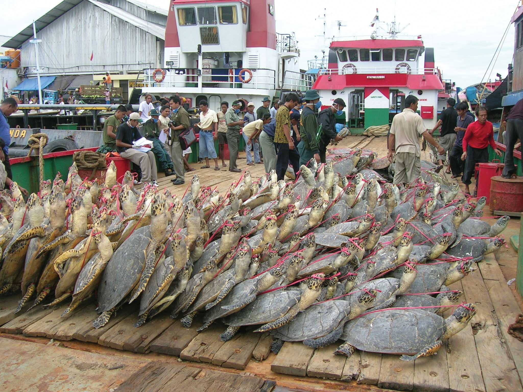 An illegal Chinese fishing vessel with 397 dead turtles aboard was seized in East Kalimantan, Indonesia, in May 2007. The captain of the boat was later sentenced to 4 years in prison by the Tarakan Court in East Kalimantan, and 22 members of the vessel's crew were deported to China. © WWF-TNC Joint Marine Program, Berau