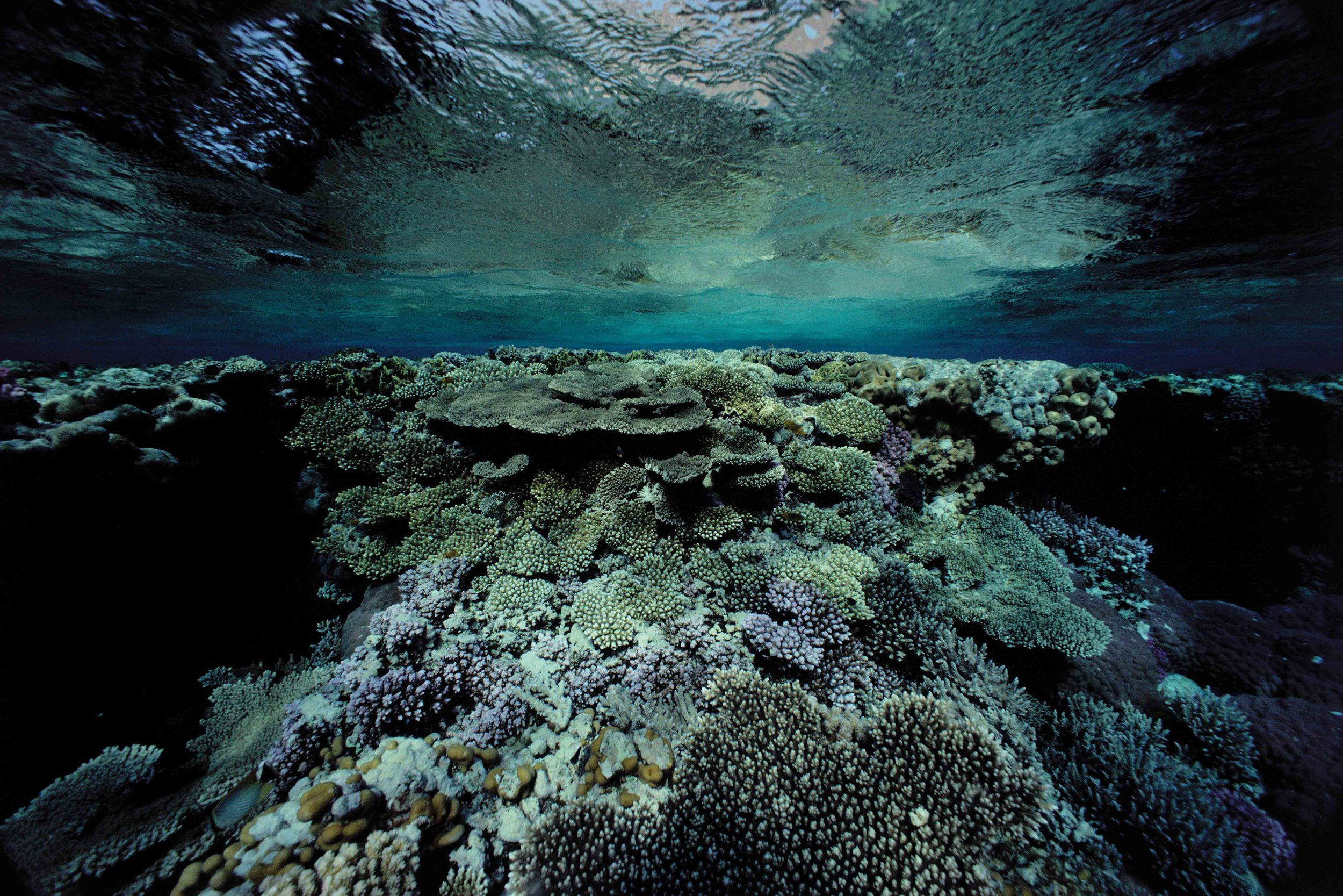 Sea turtles inhabit a wide variety of ocean ecosystems, such as this coral reef in the North Red Sea. © David Doubilet