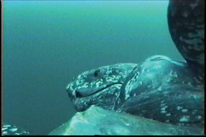 Crittercam recorded this unique turtle-eye view of a male leatherback courting a female. Crittercam has been deployed on more than 50 species using a variety of creative attachment techniques including suction cups on leatherbacks and whales and custom-fitted backpacks on emperor penguins. Photo courtesy of National Geographic Remote Imaging