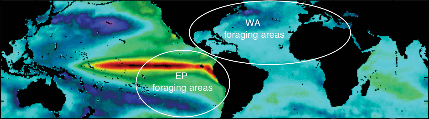 Ecosystem stability (based on variability in sea-surface temperatures) in leatherback foraging areas worldwide varies from very stable areas (cool colors; e.g., the western Atlantic Ocean) to highly unstable areas (warm colors; e.g., the eastern Pacific Ocean). General foraging areas of the respective leatherback populations are highlighted on the basis of satellite tracking studies. © Vincent Saba